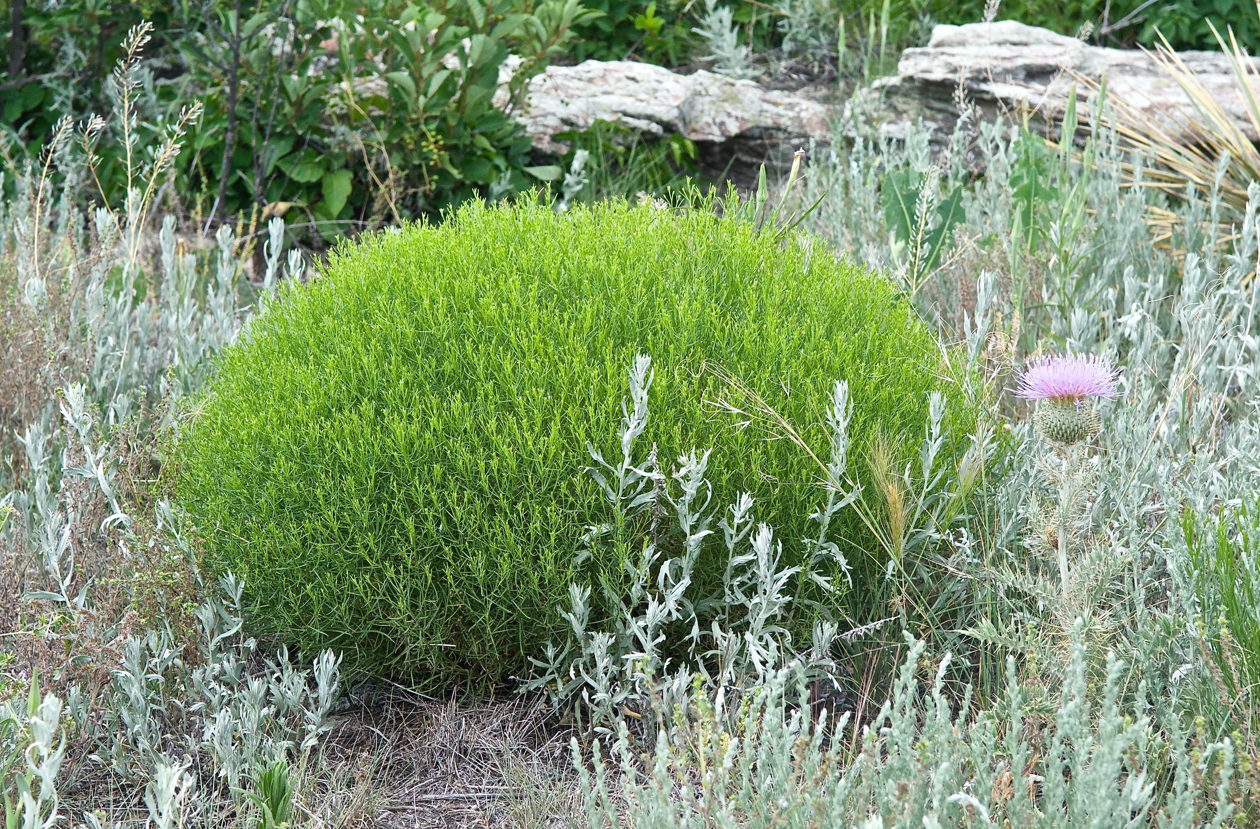 Broom Snakeweed (Gutierrezia sarothrae)
