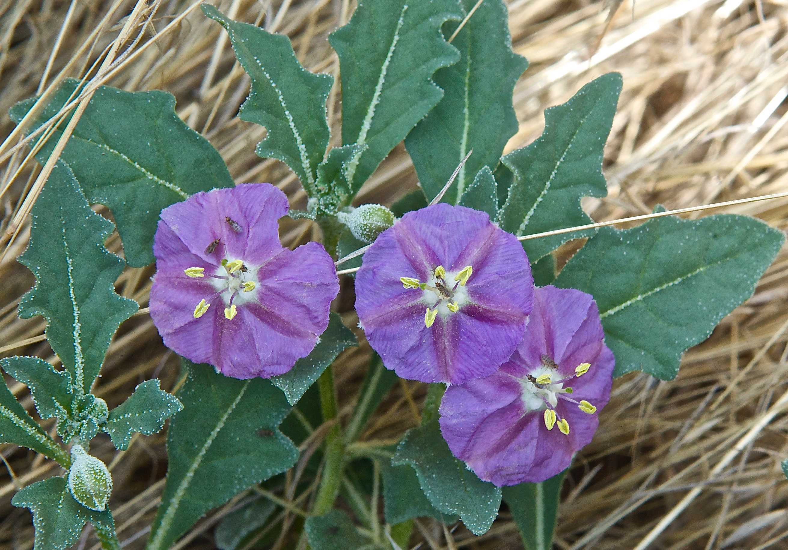 Purple Groundcherry (Quincula lobata  Solanaceae)