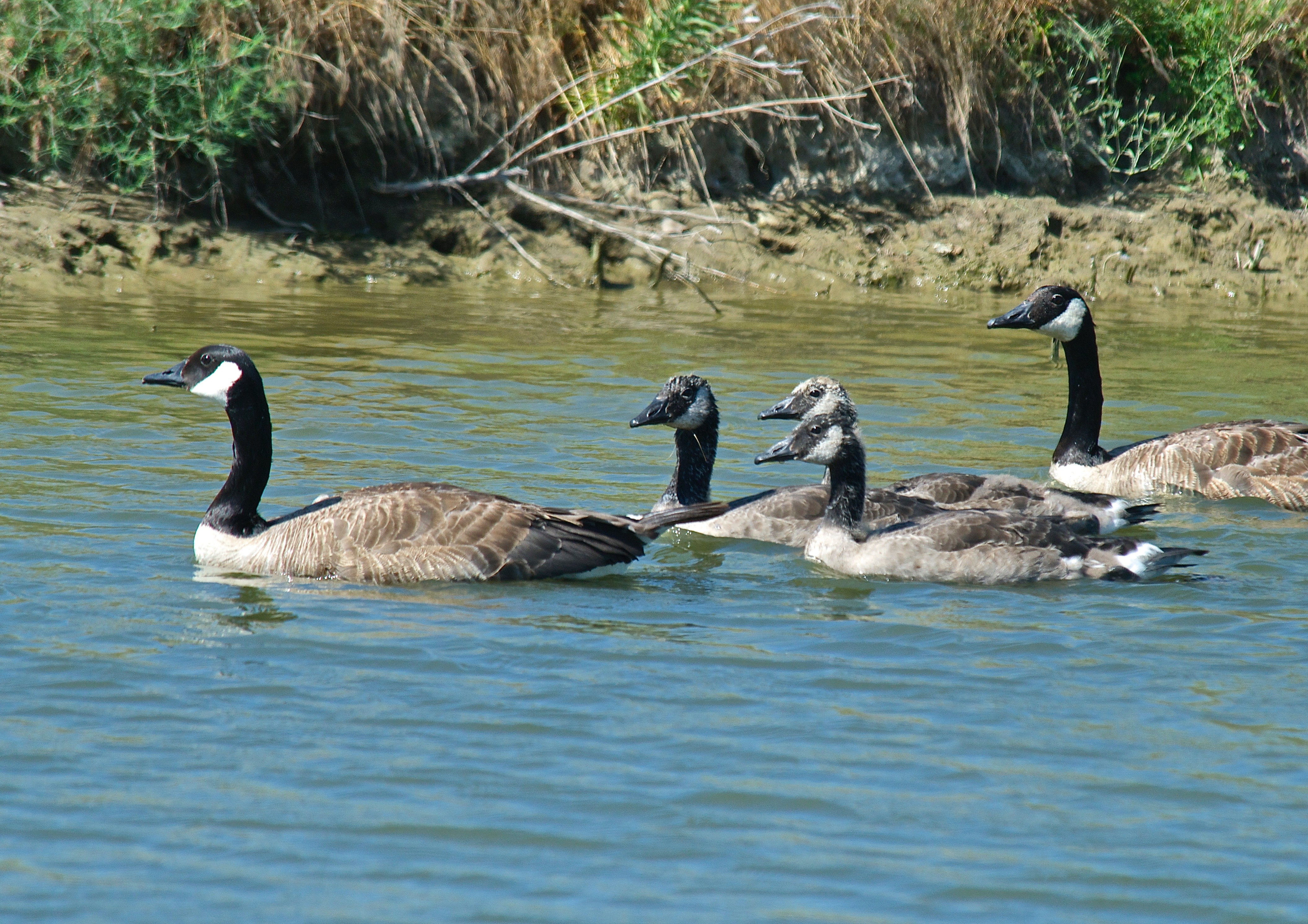 Richardson's Canada Goose (Probably)