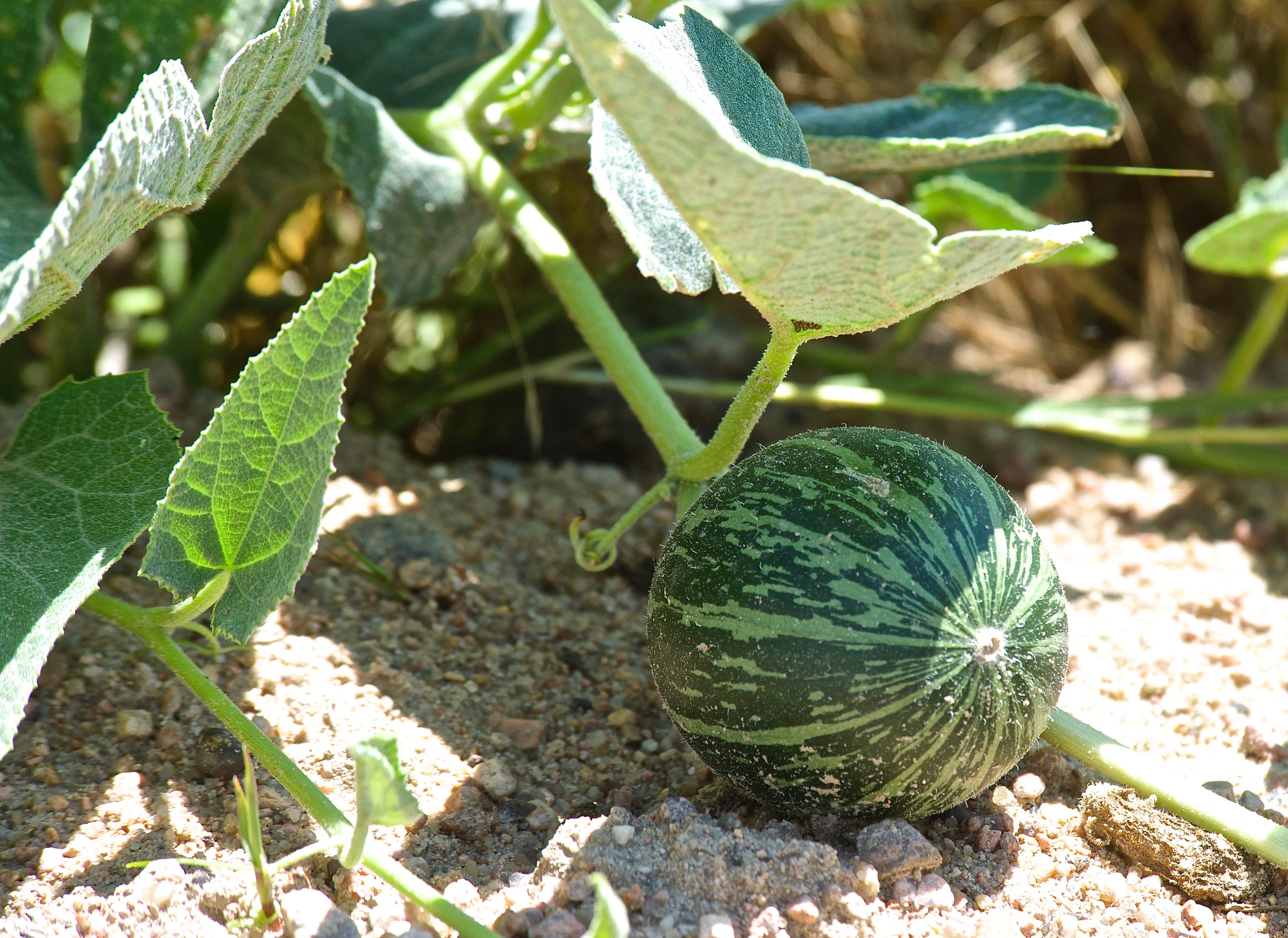Buffalo Gourd on Vine (7-27)
