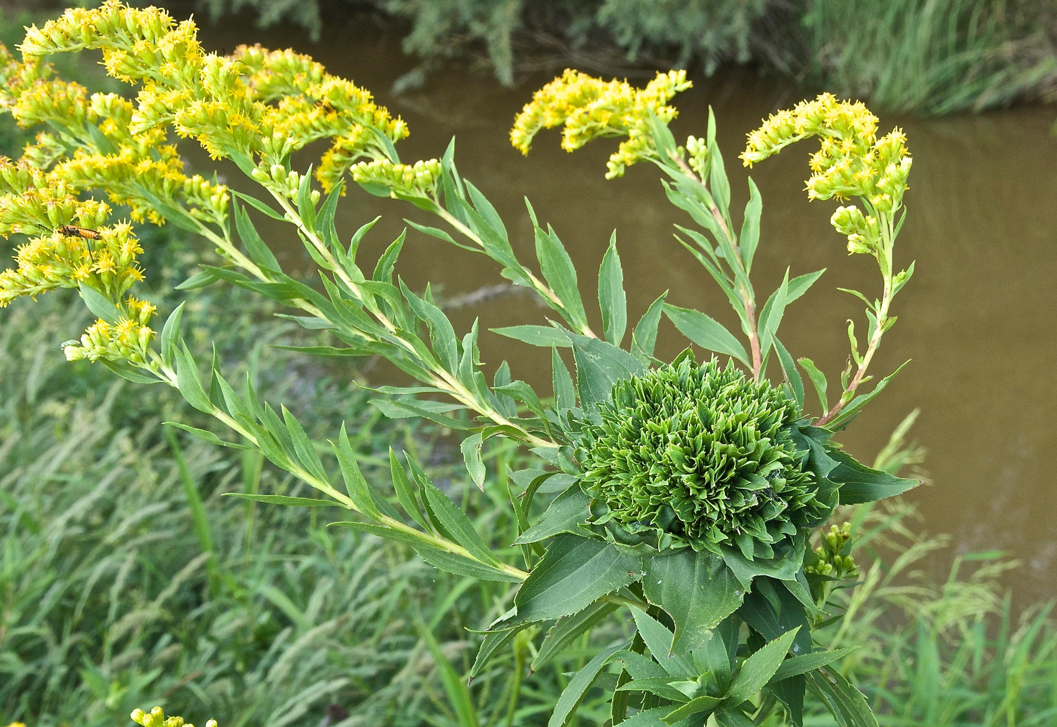 Canada Goldenrod (Solidago canadensis) Gall