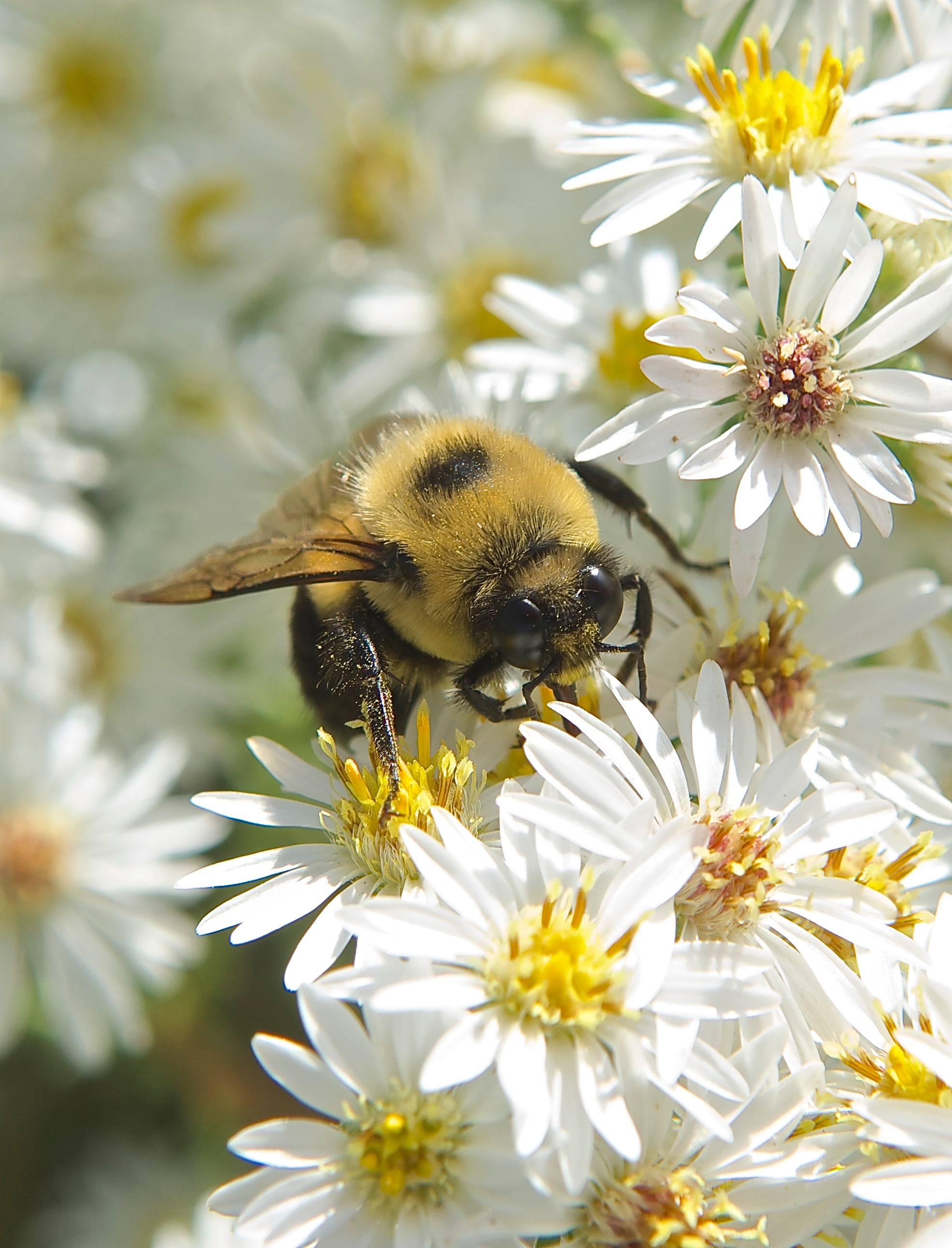 Bumble Bee on Heath Aster (Symphyotrichum ericoides)