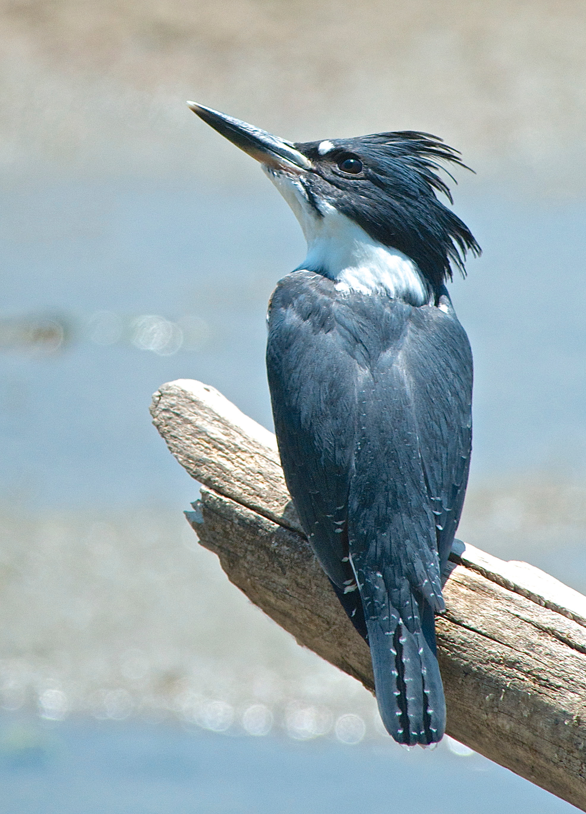 Young Belted Kingfisher