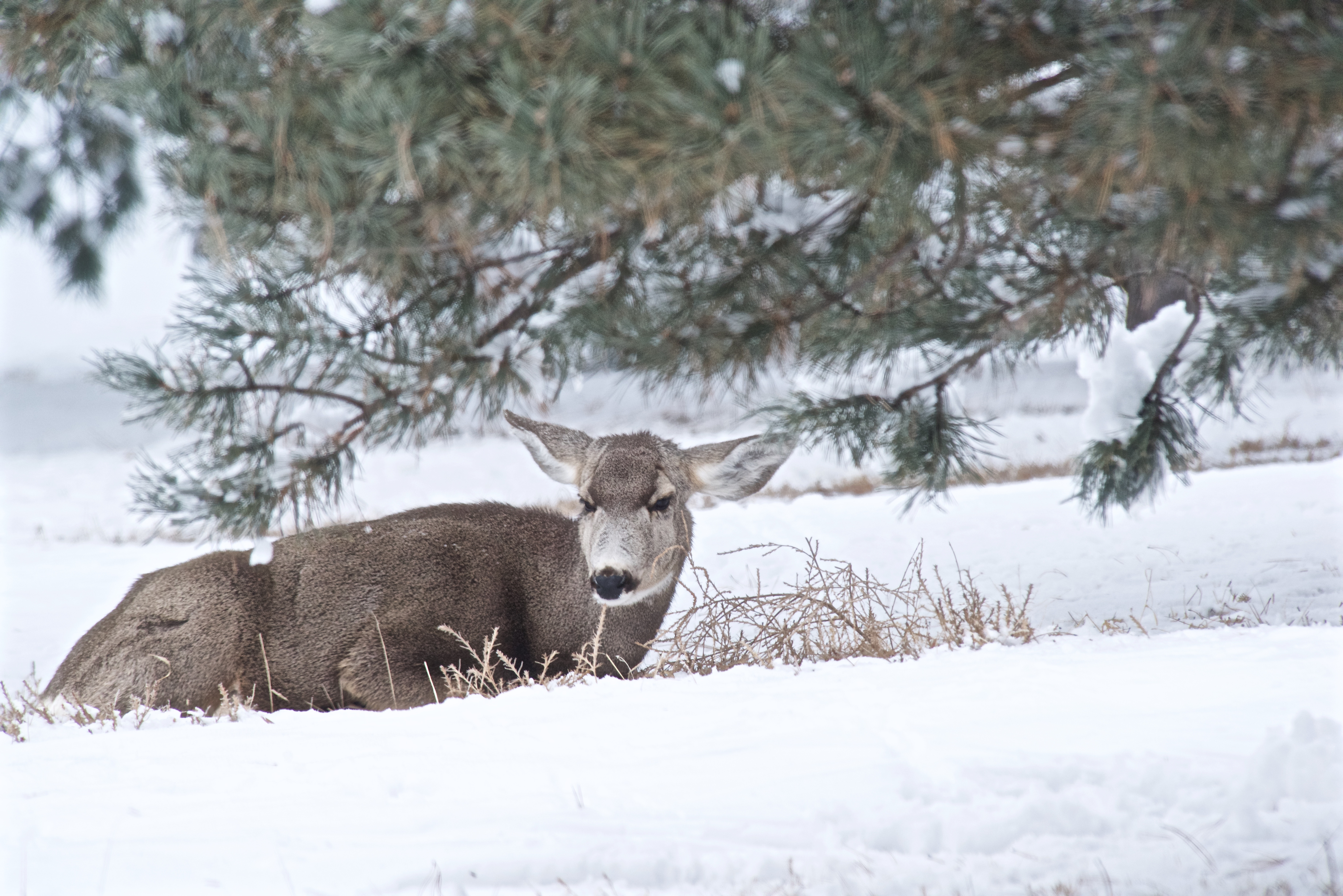 Mule Deer (A long Snow Period)
