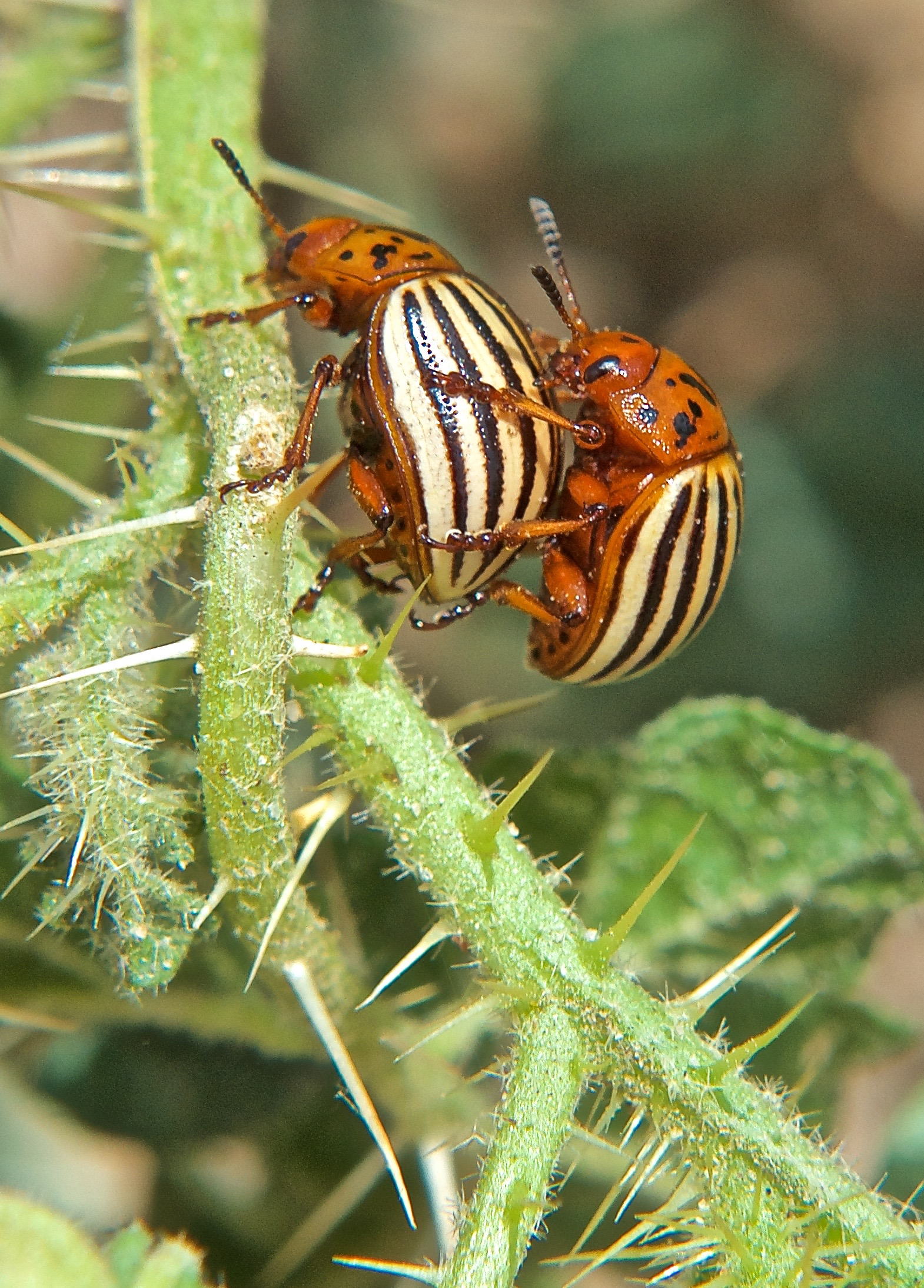 Colorado Potato Beetle on Buffalo-bur