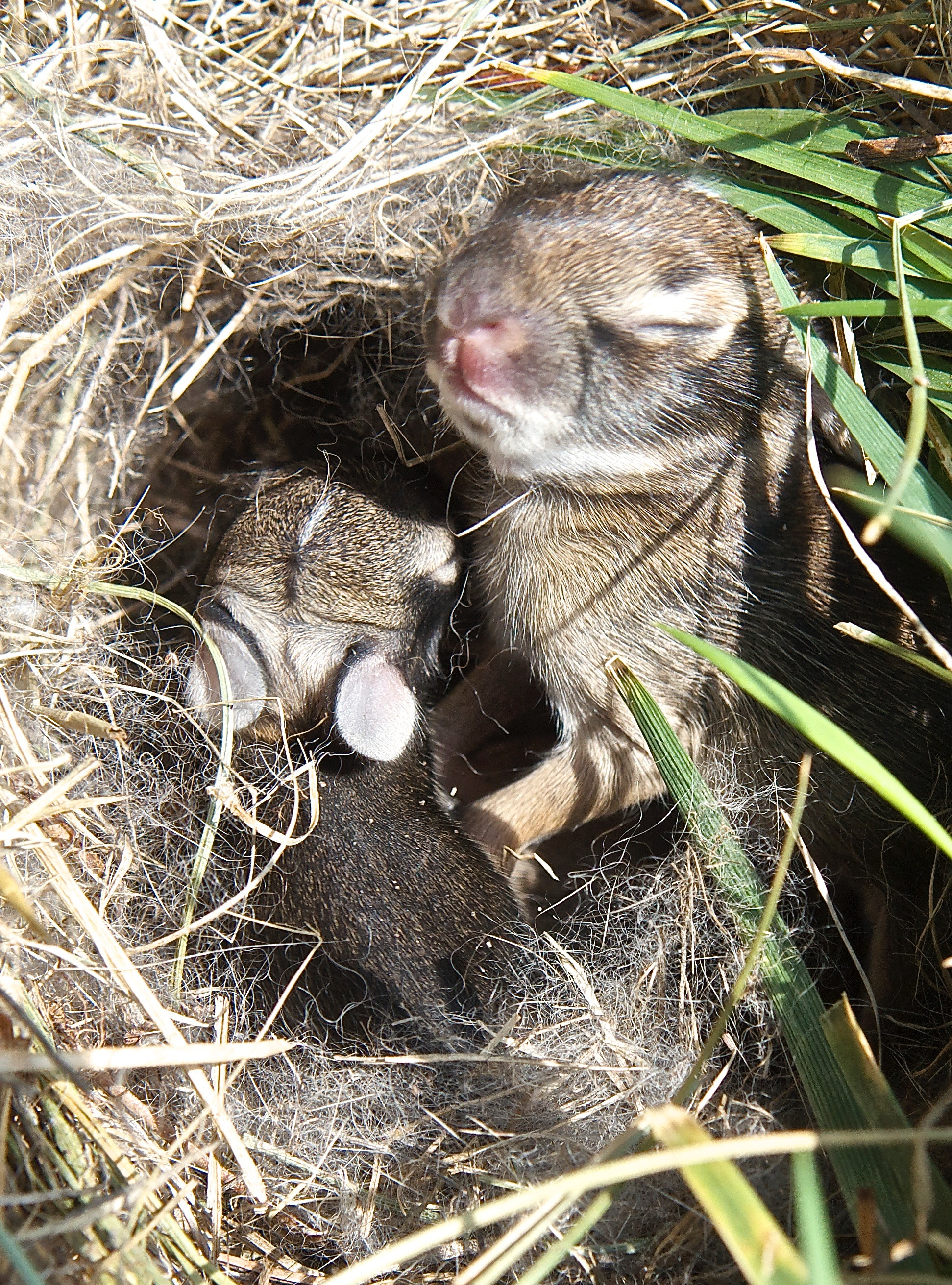 Baby Cottontails (Day 5)