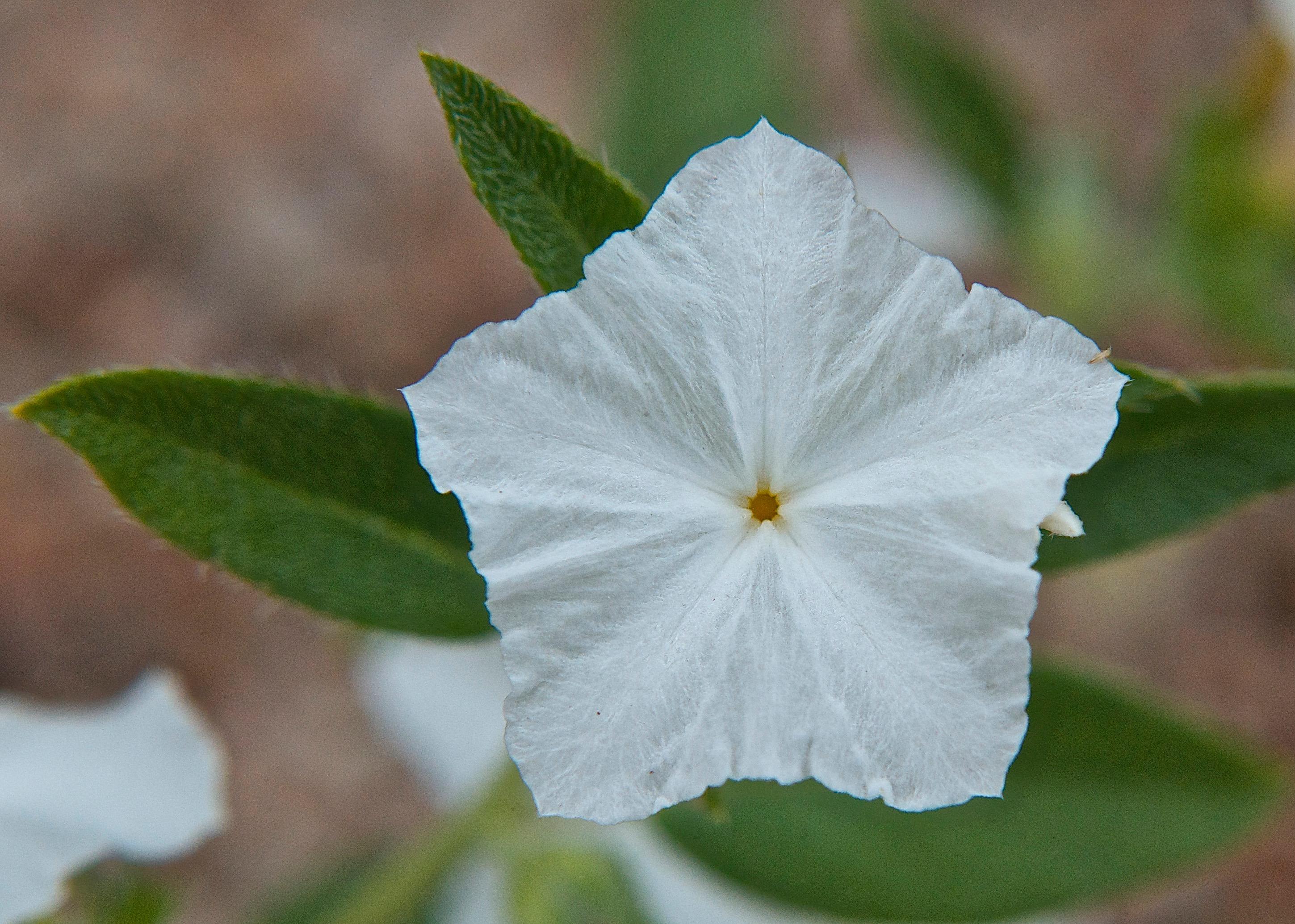 Shaggy Dwarf Morningglory (Evolvulus nuttallianus)