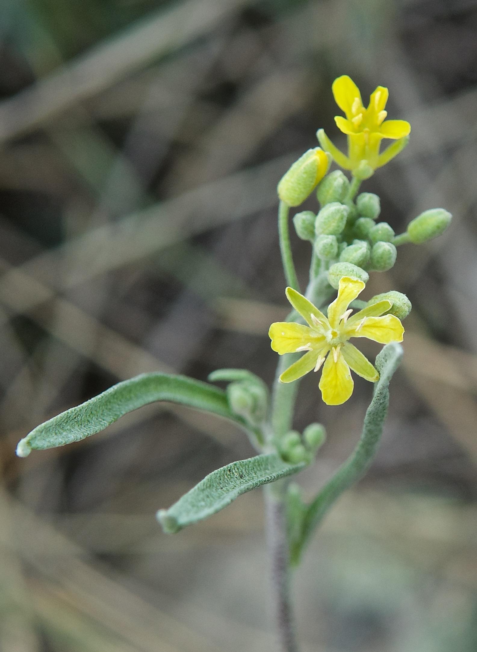 Louisianna Blatterwort (Lesquerella ludoviciana)