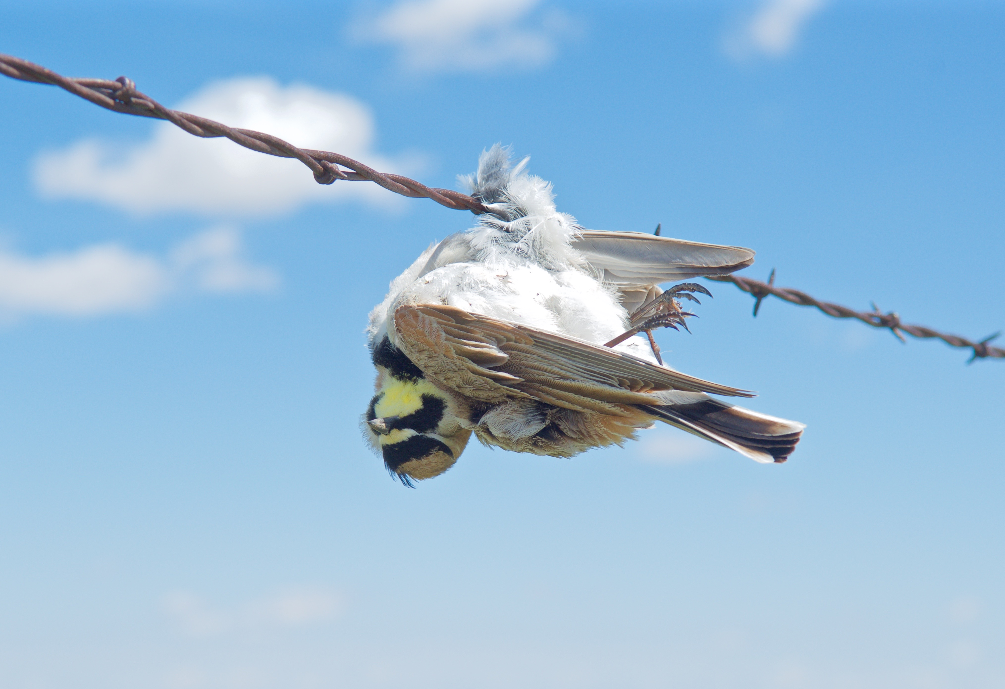 Horned Lark impaled on Barbed Wire (Impaled by Loggerhead Shrike)