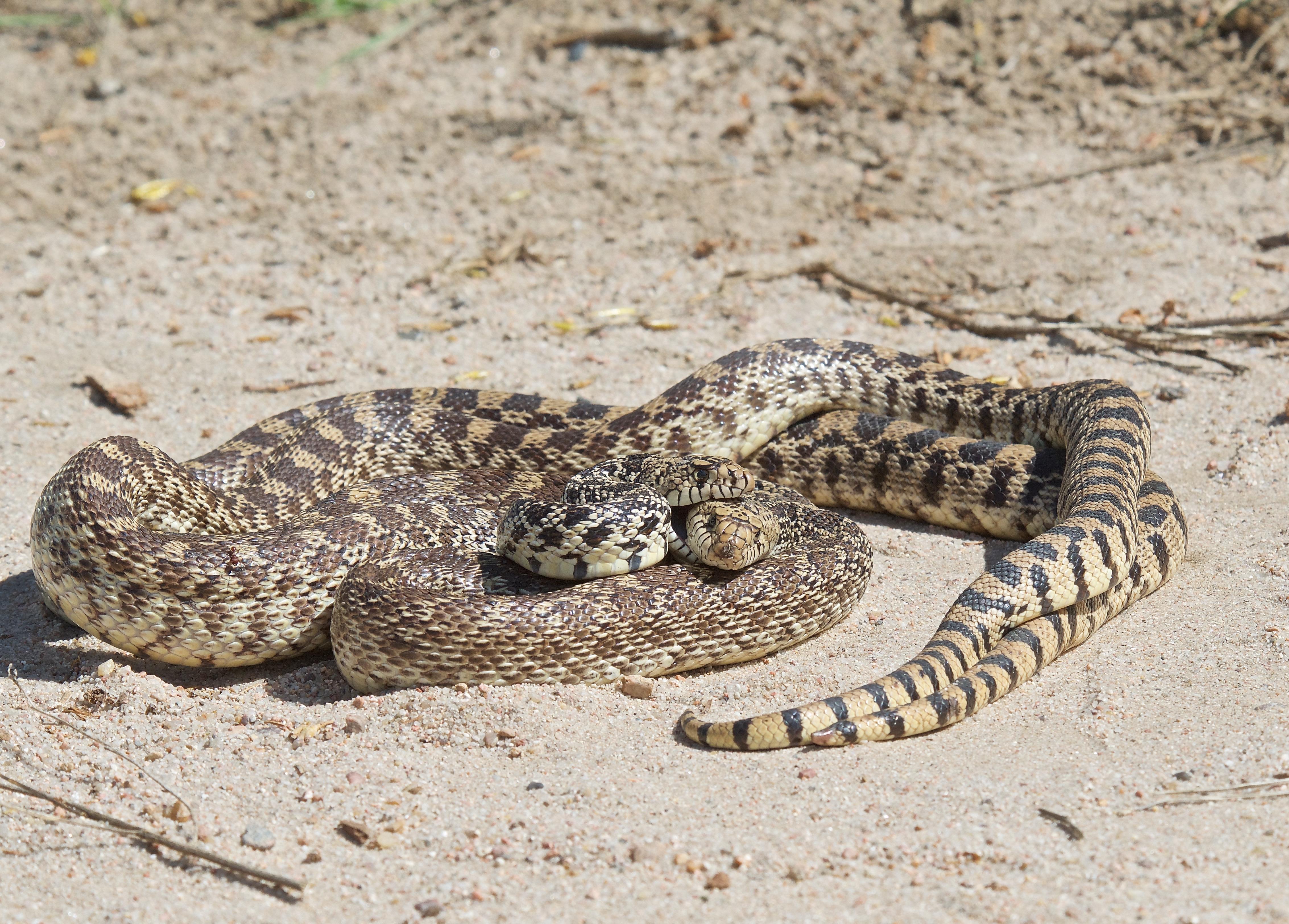Bull Snakes Mating