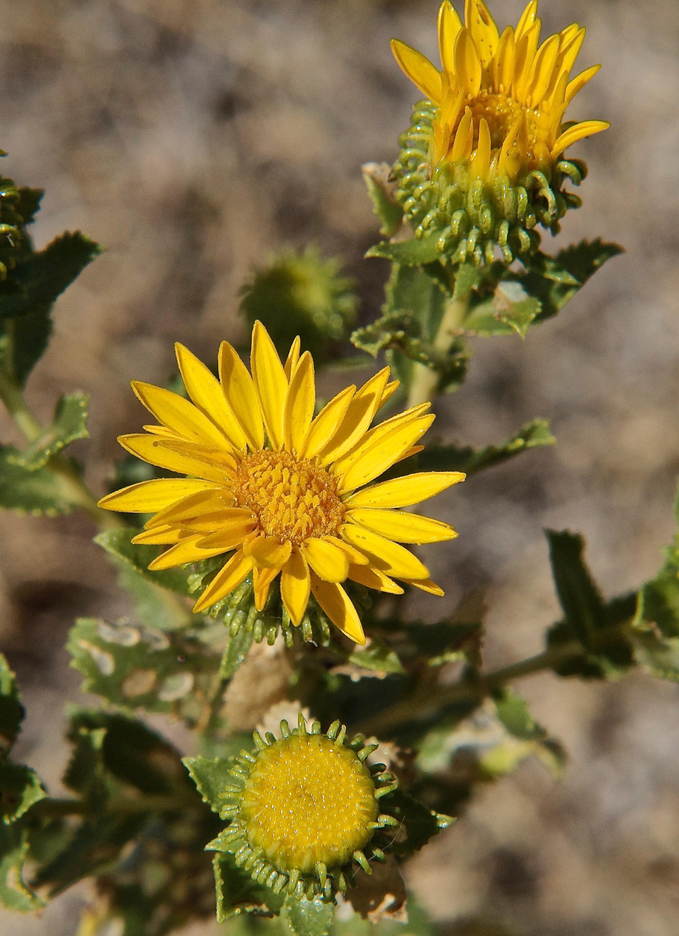 Subalpine Gumweed (Grindelia subalpina)
