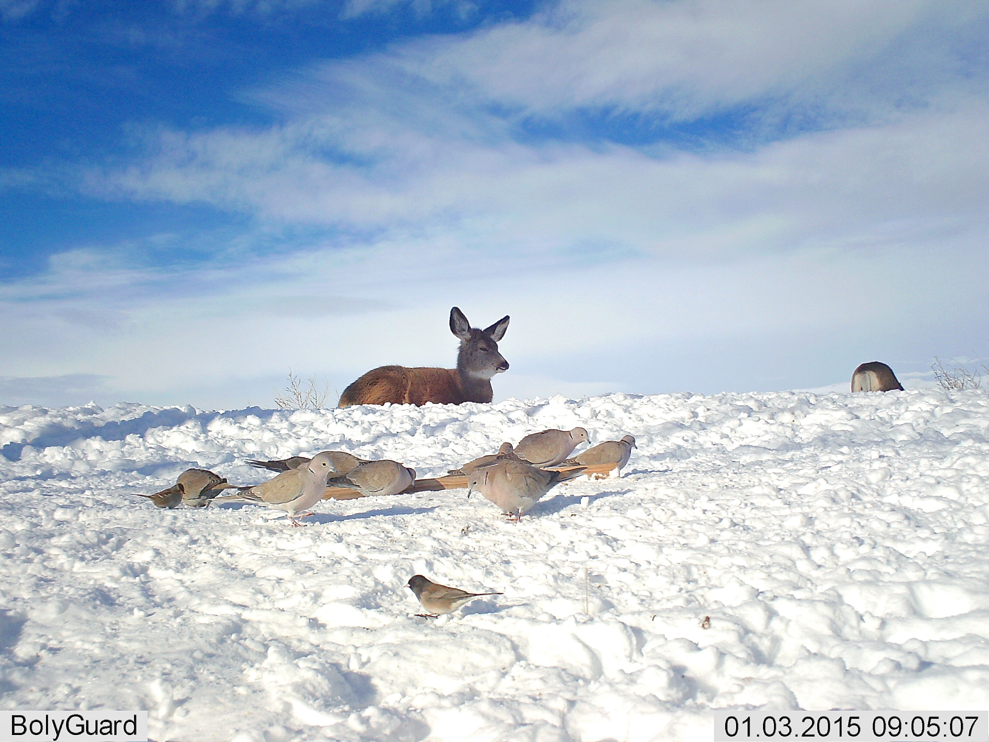 Collared Doves and Mule Deer