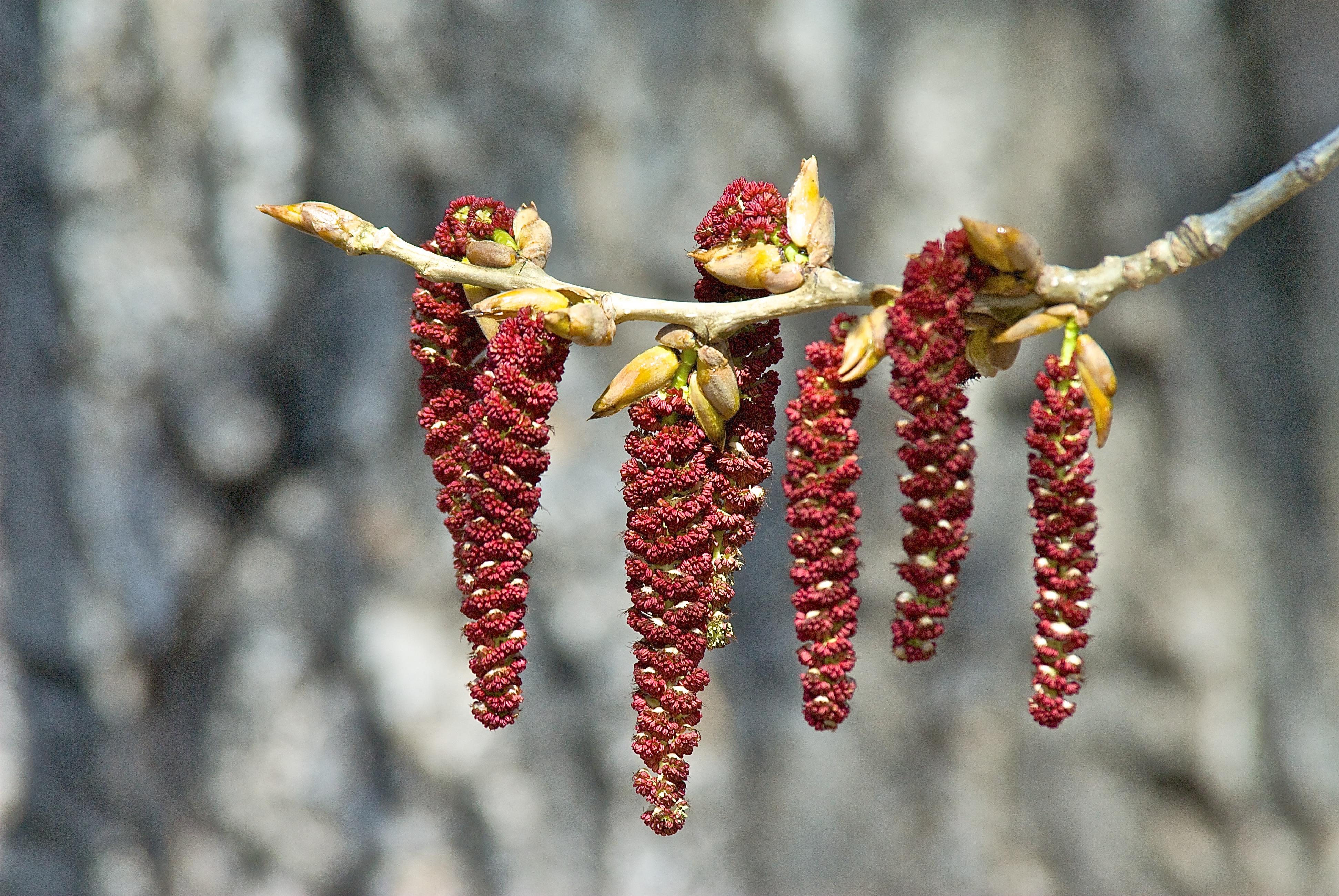 Cottonwood Catkins ♂ (Populus sargentii)