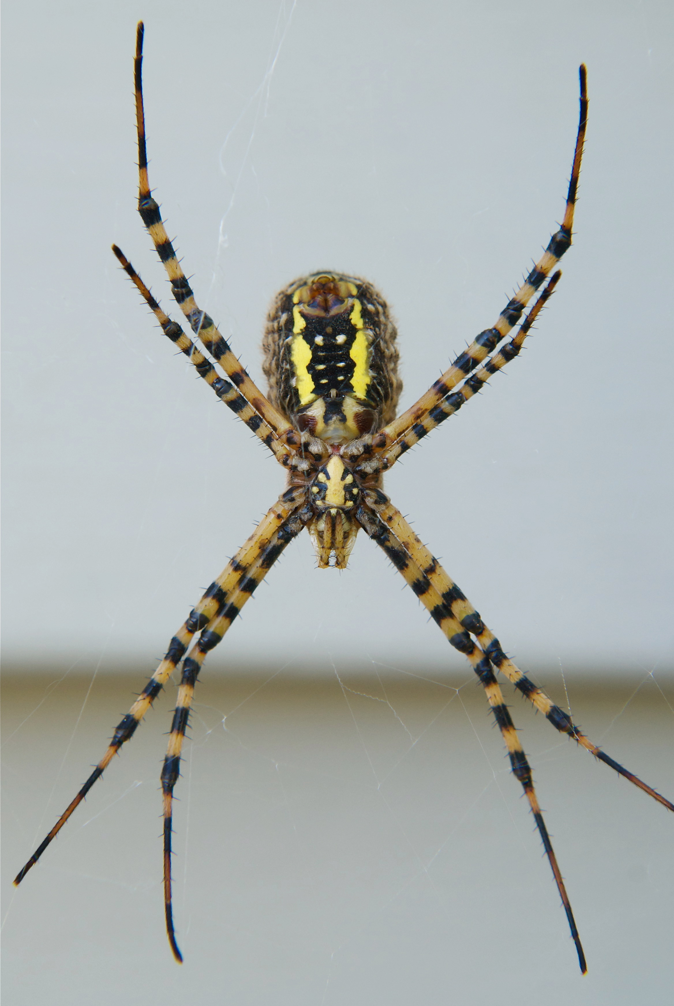Banded Garden Spider (bottom)