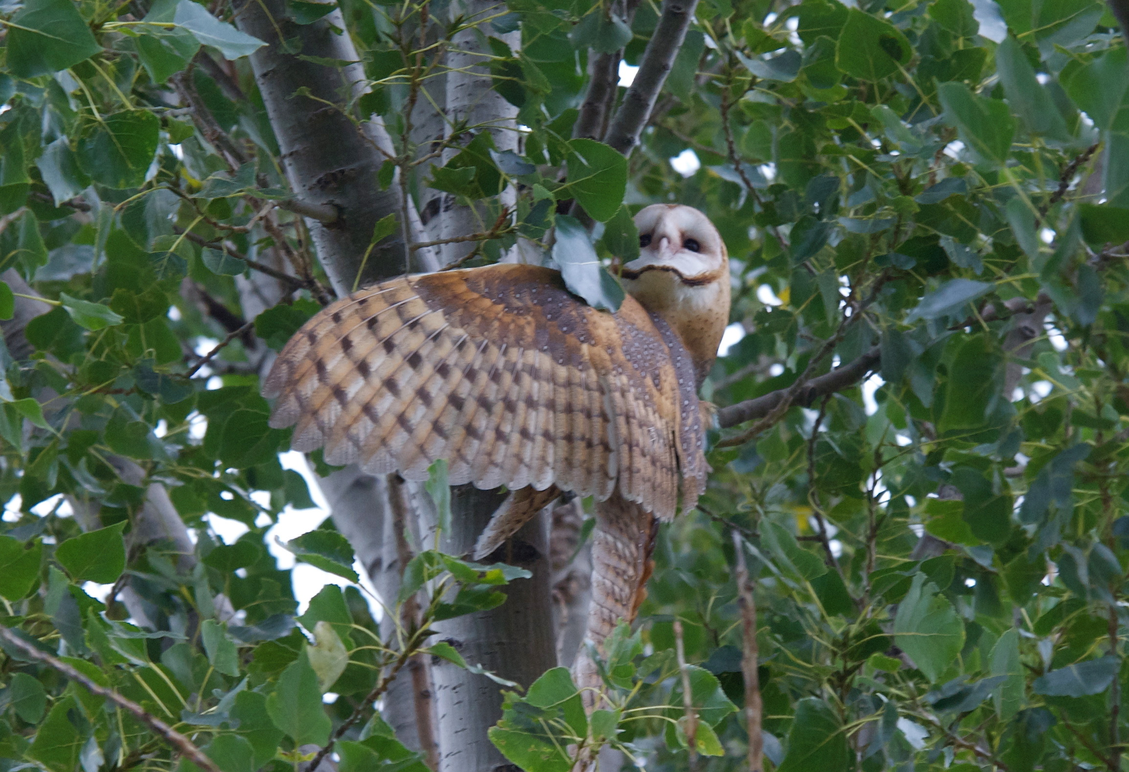 Barn Owl knocked out of tree by Jays