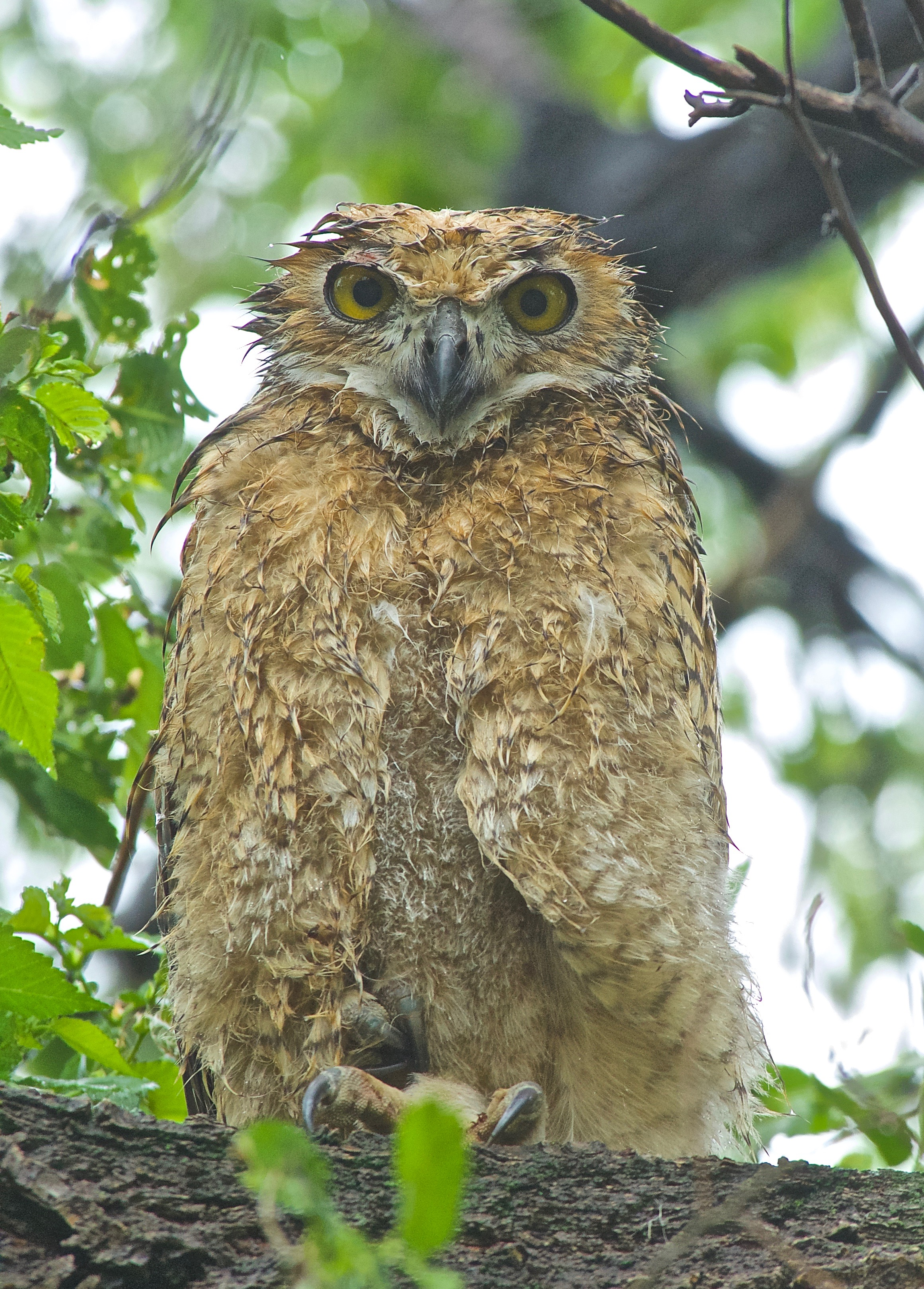 Young, wet Great-Horned Owl copy