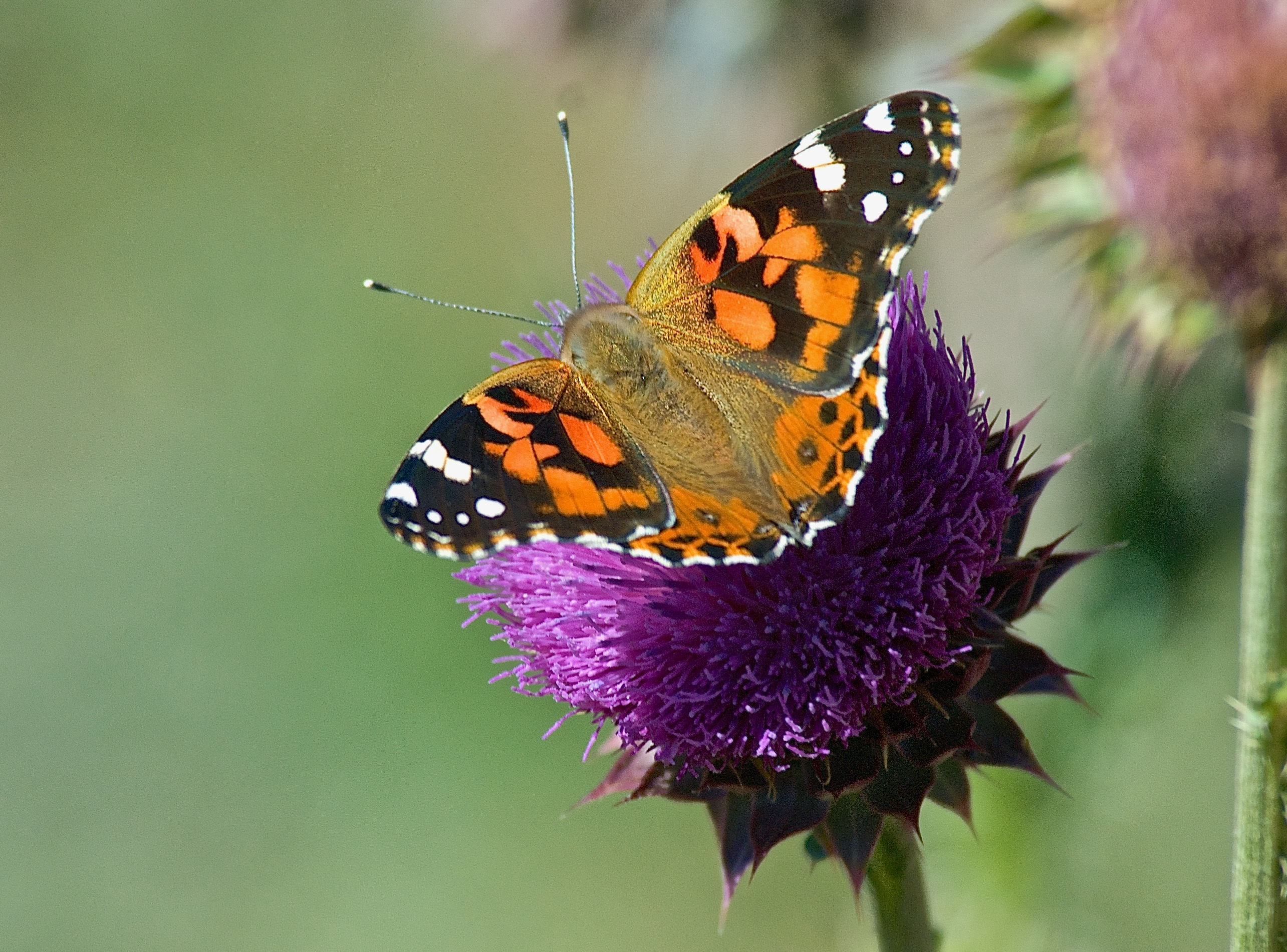 West Coast Lady Butterfly ((Vanessa annabella) on Musk Thistle