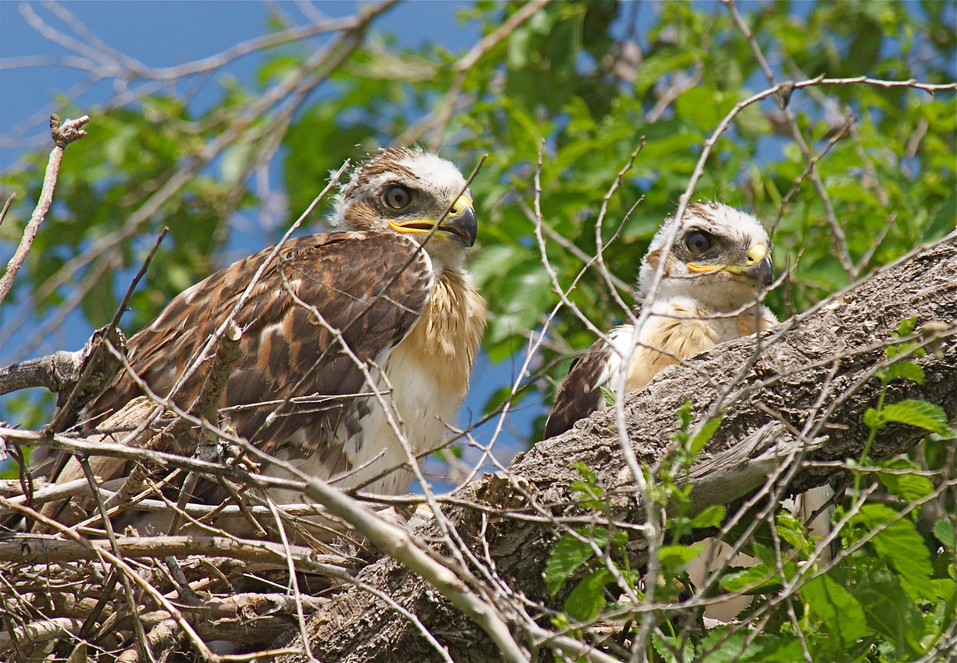 Red-Tailed Hawk Fledglings