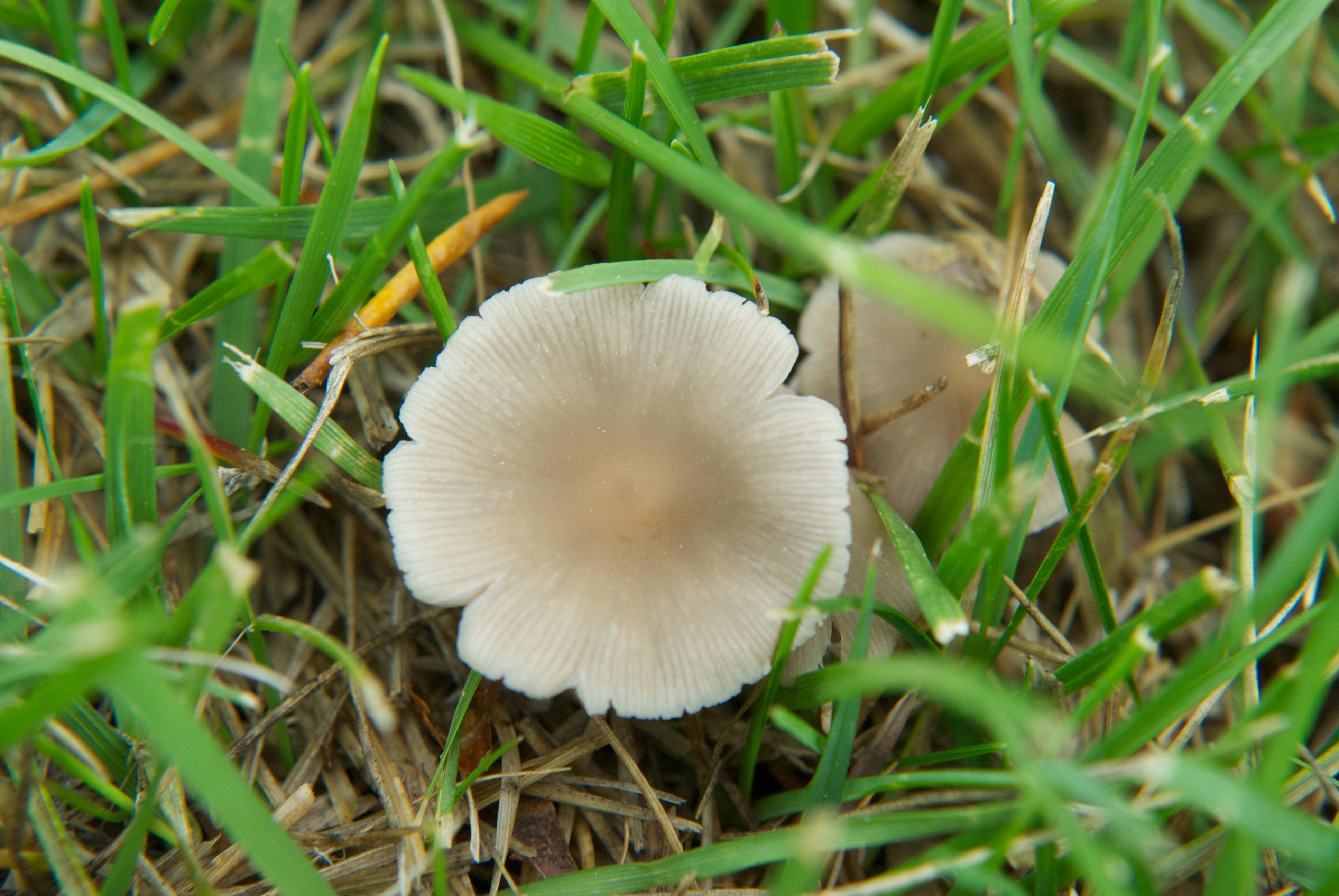 Mica Cap Mushroom (Coprinus micaceus) (opened)