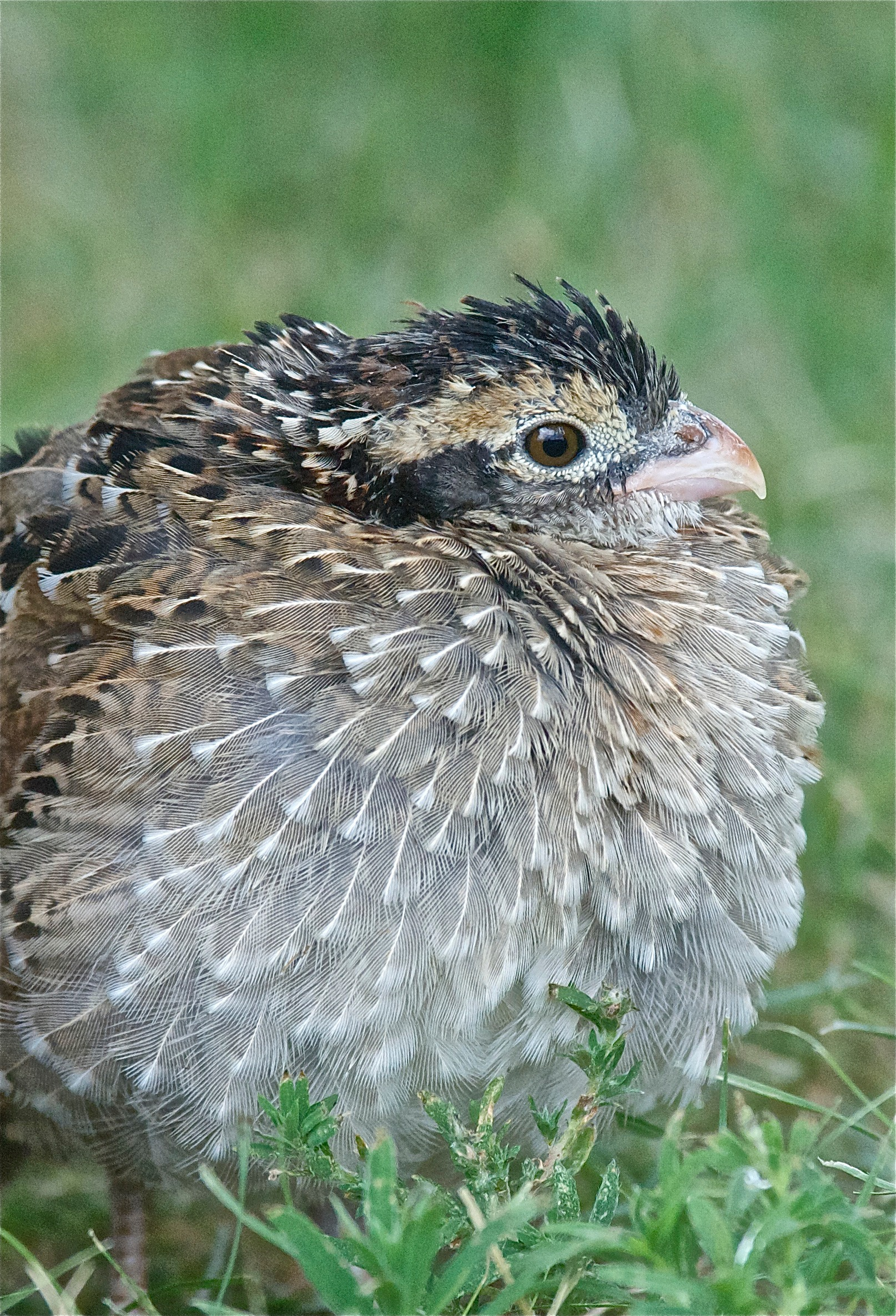 Four-Week old Bobwhite Quail