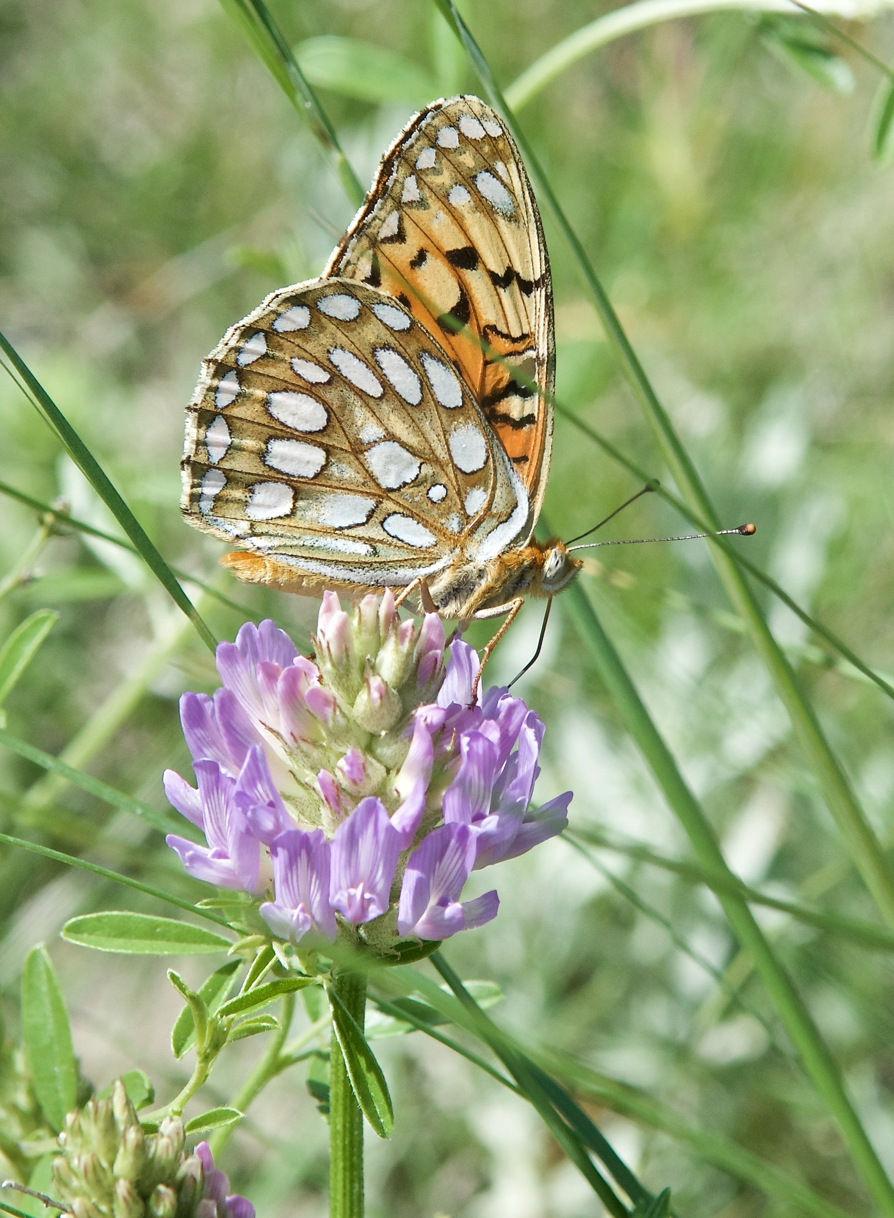 Callippe Fritillary (Speyeria callippe meadii) on a Field Milkvetch