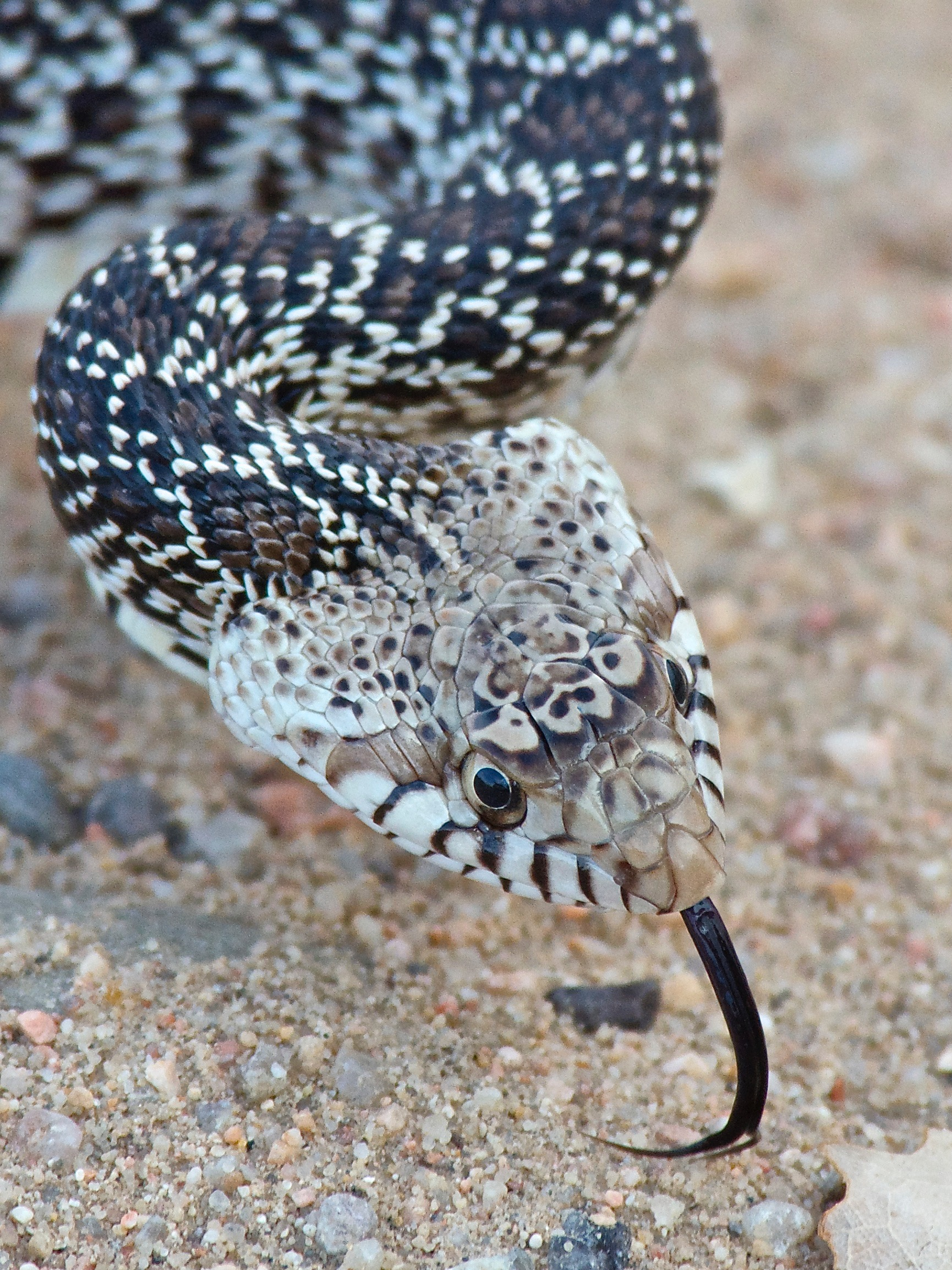 Young Bull Snake