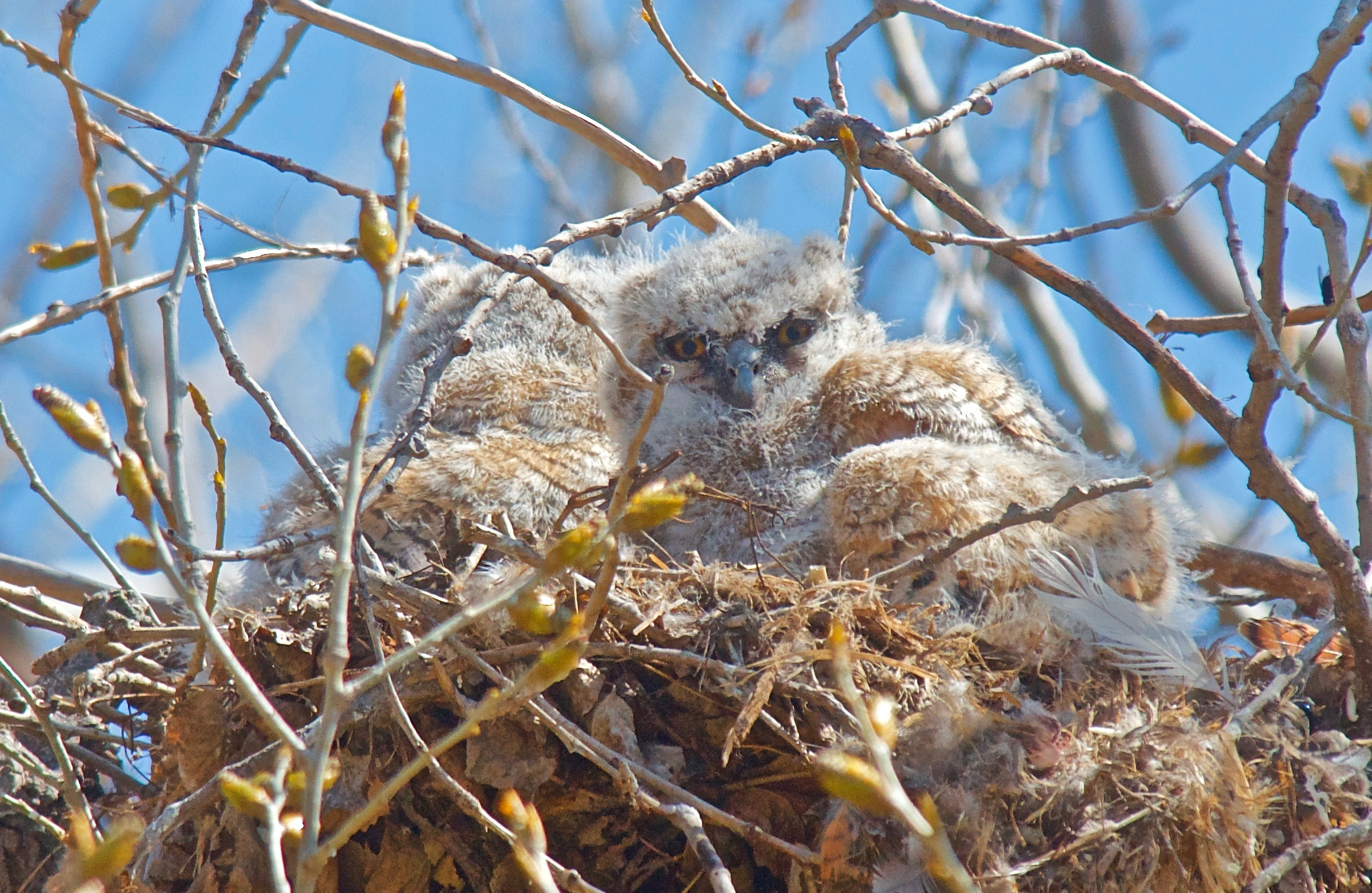 Baby Great-Horned Owls