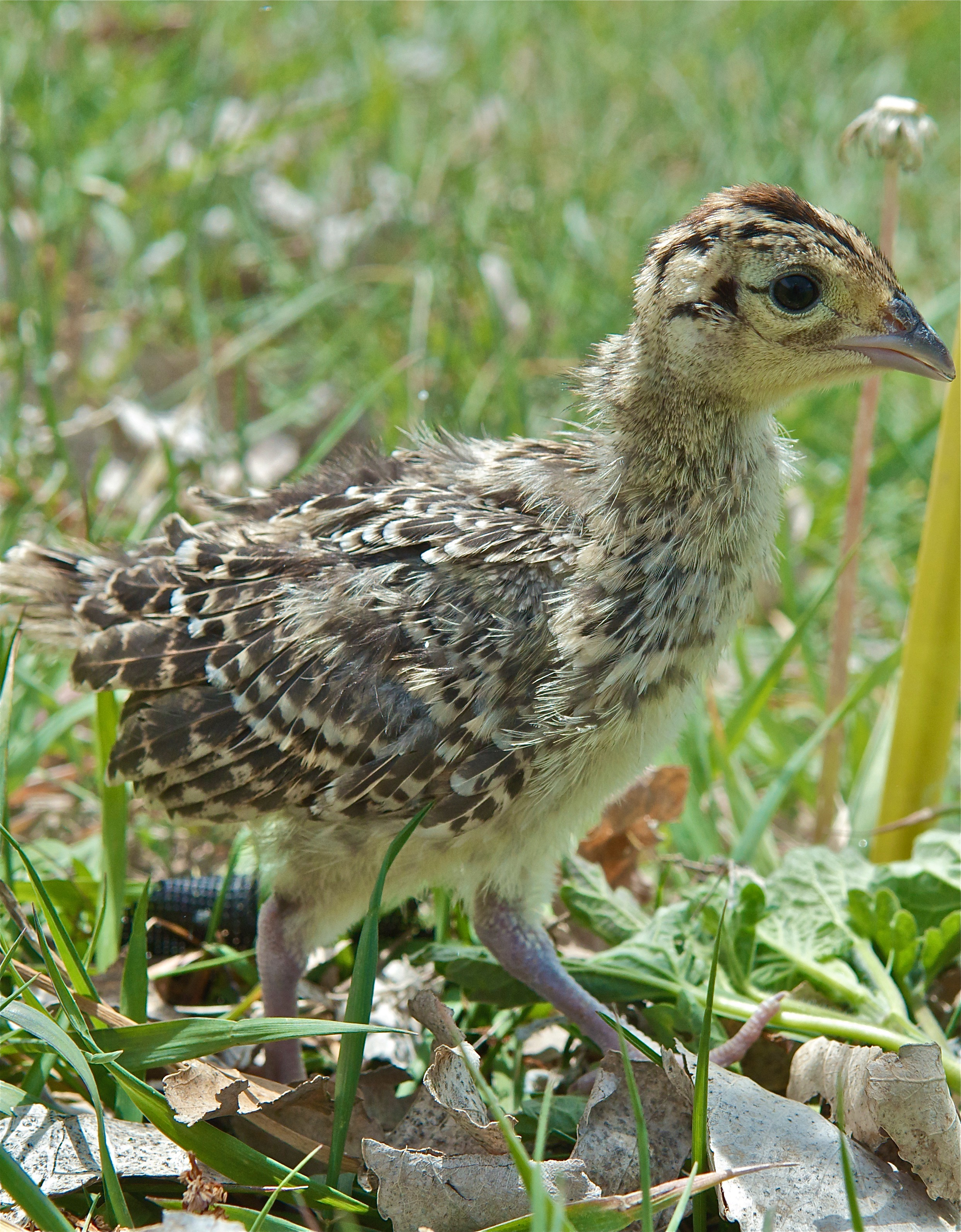 Ring-Necked Pheasant at 2 Weeks