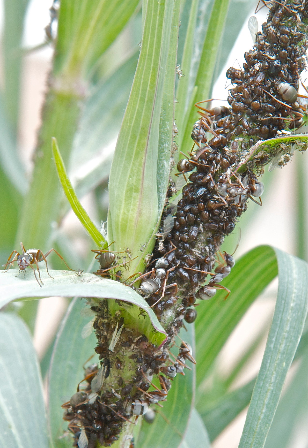 Ants and Aphids on Salsify
