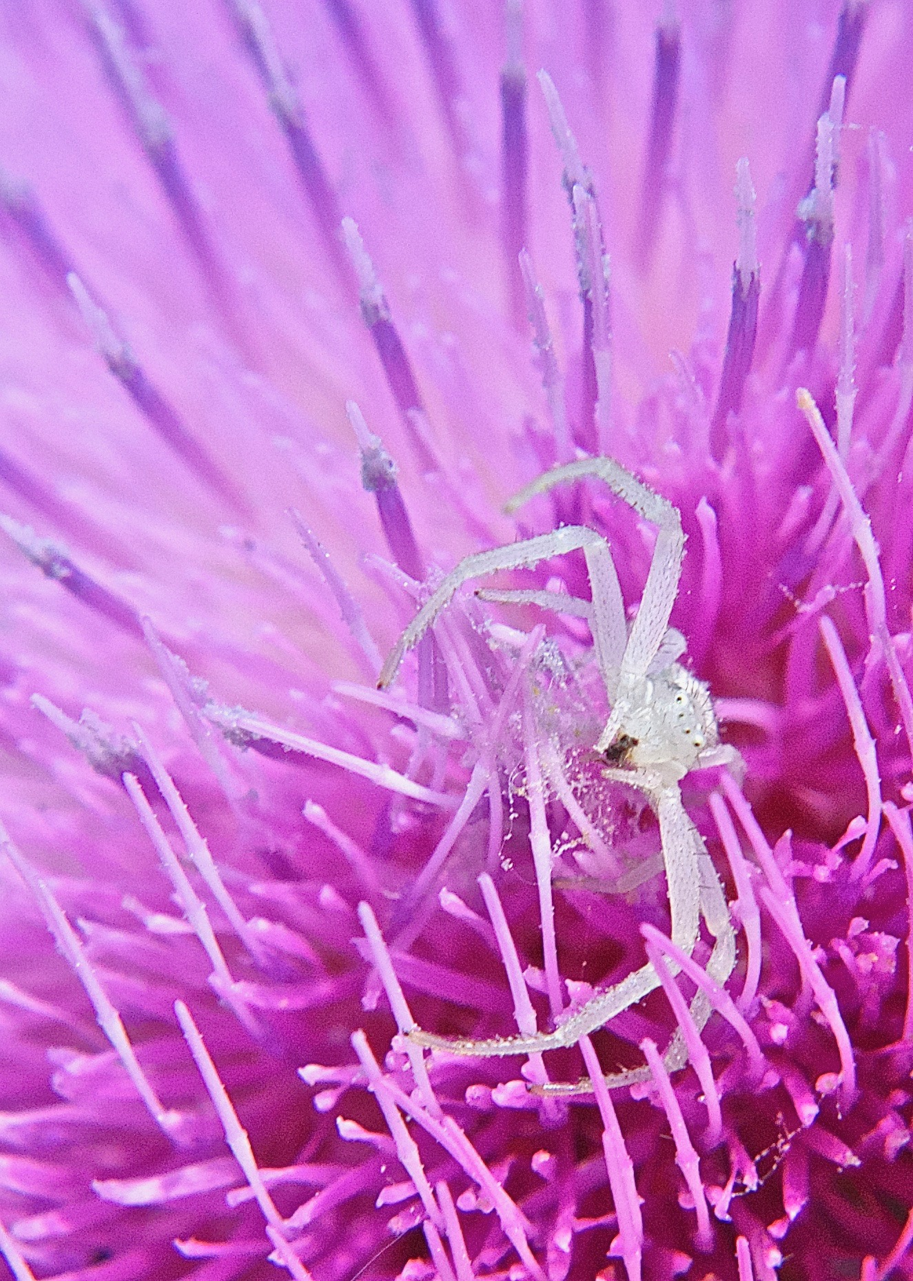 White Flower Spider on Musk Thistle