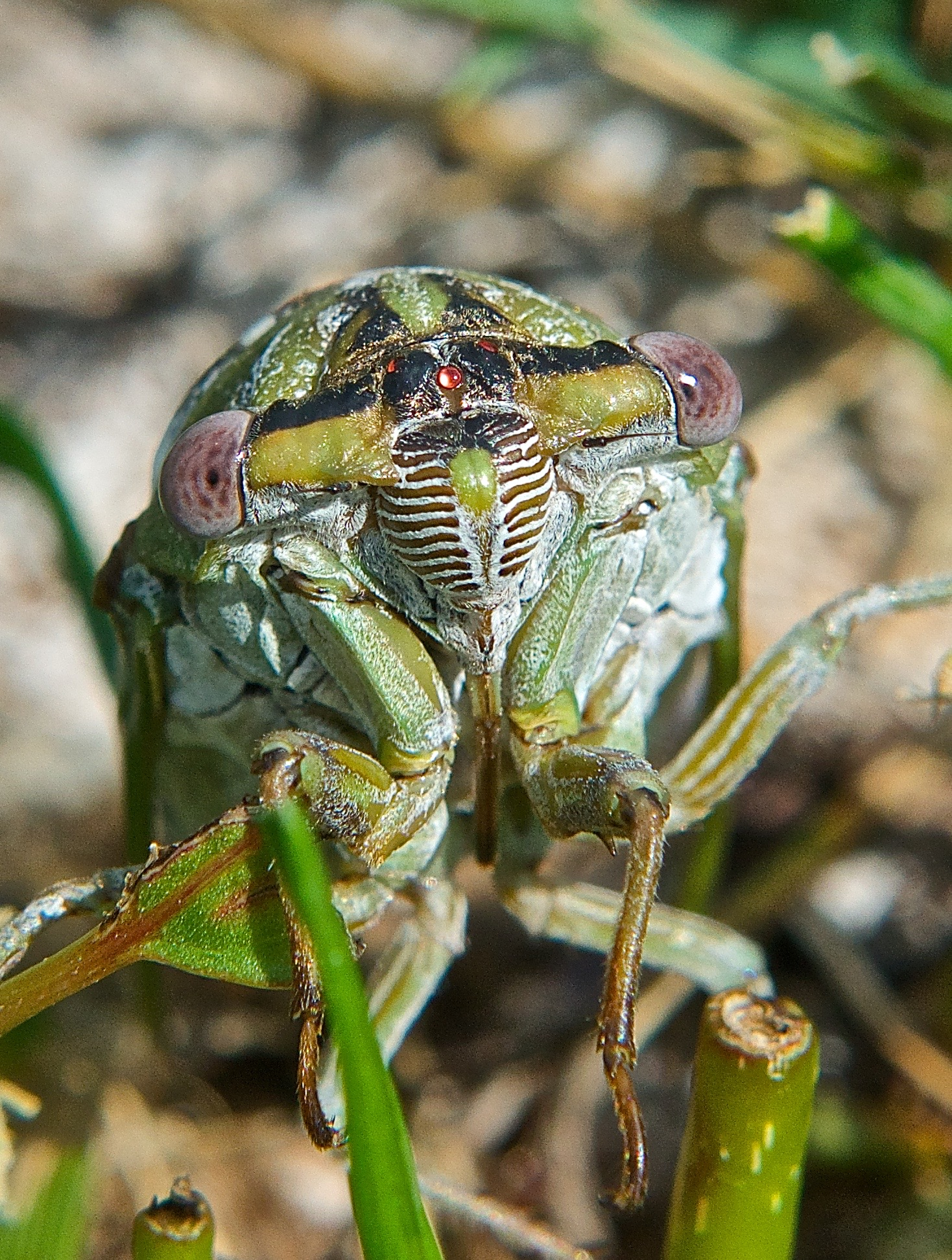Local Cicada (Tibicen dealbatus)