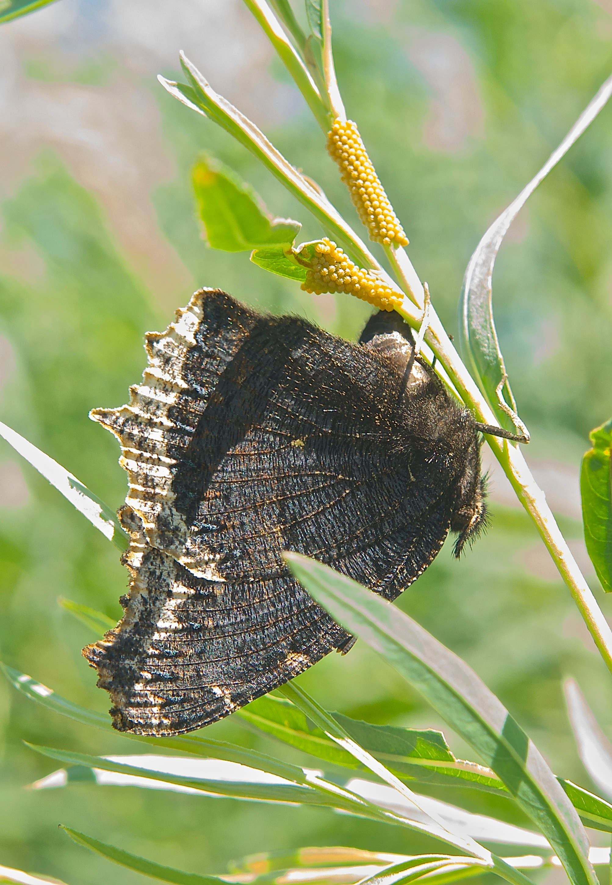 Desert Cloudywing (Achalarus casica) laying Eggs