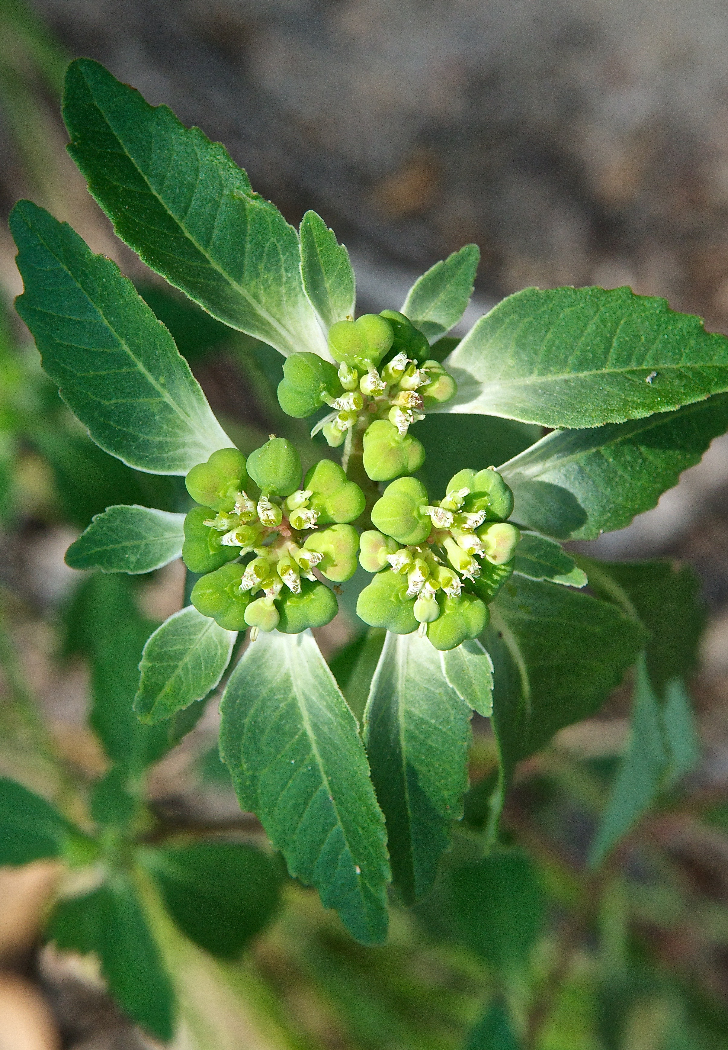 Toothed Spurge (Euphorbia dentata)