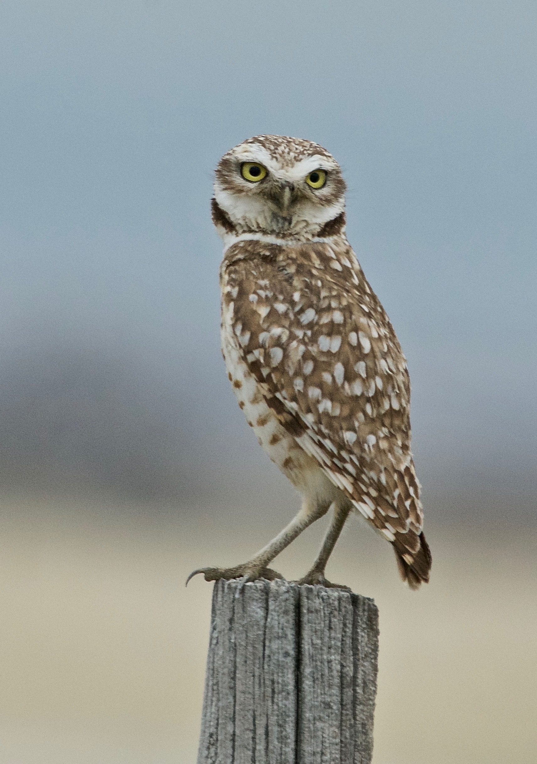 Burrowing Owl ♂