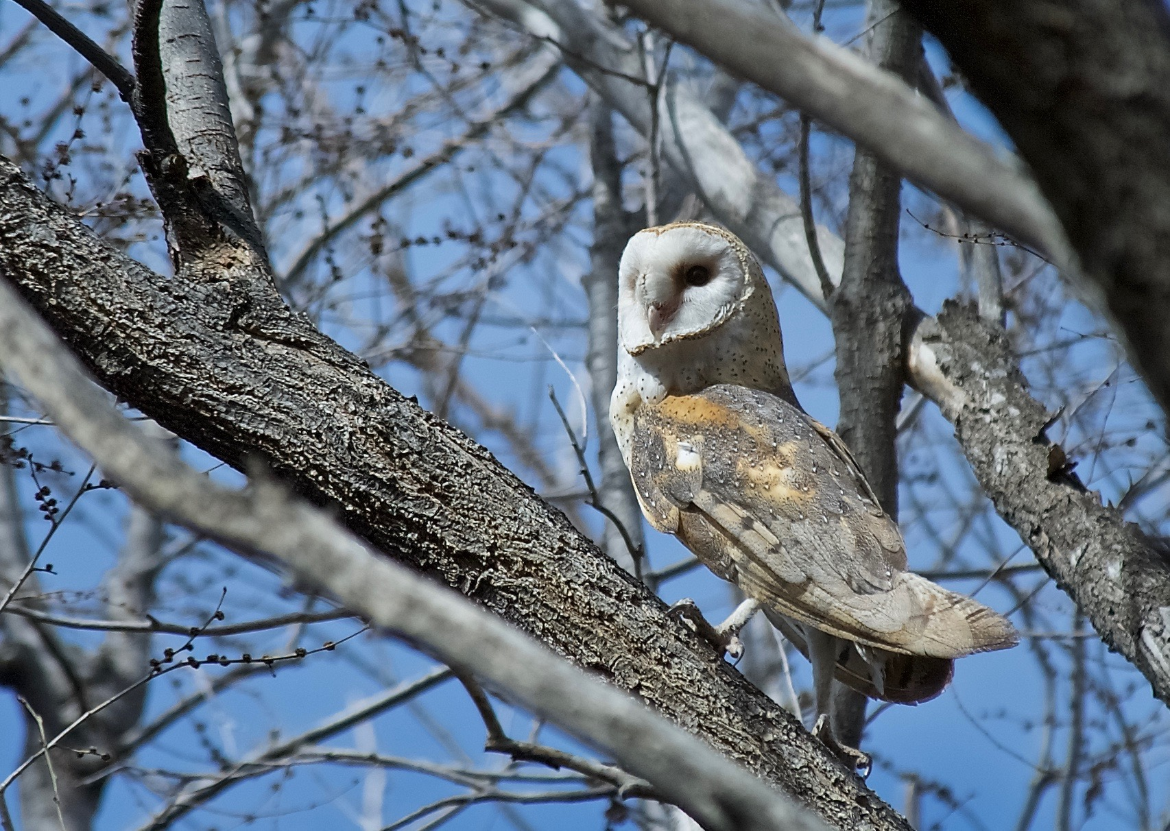 Barn Owl at the Reservoir