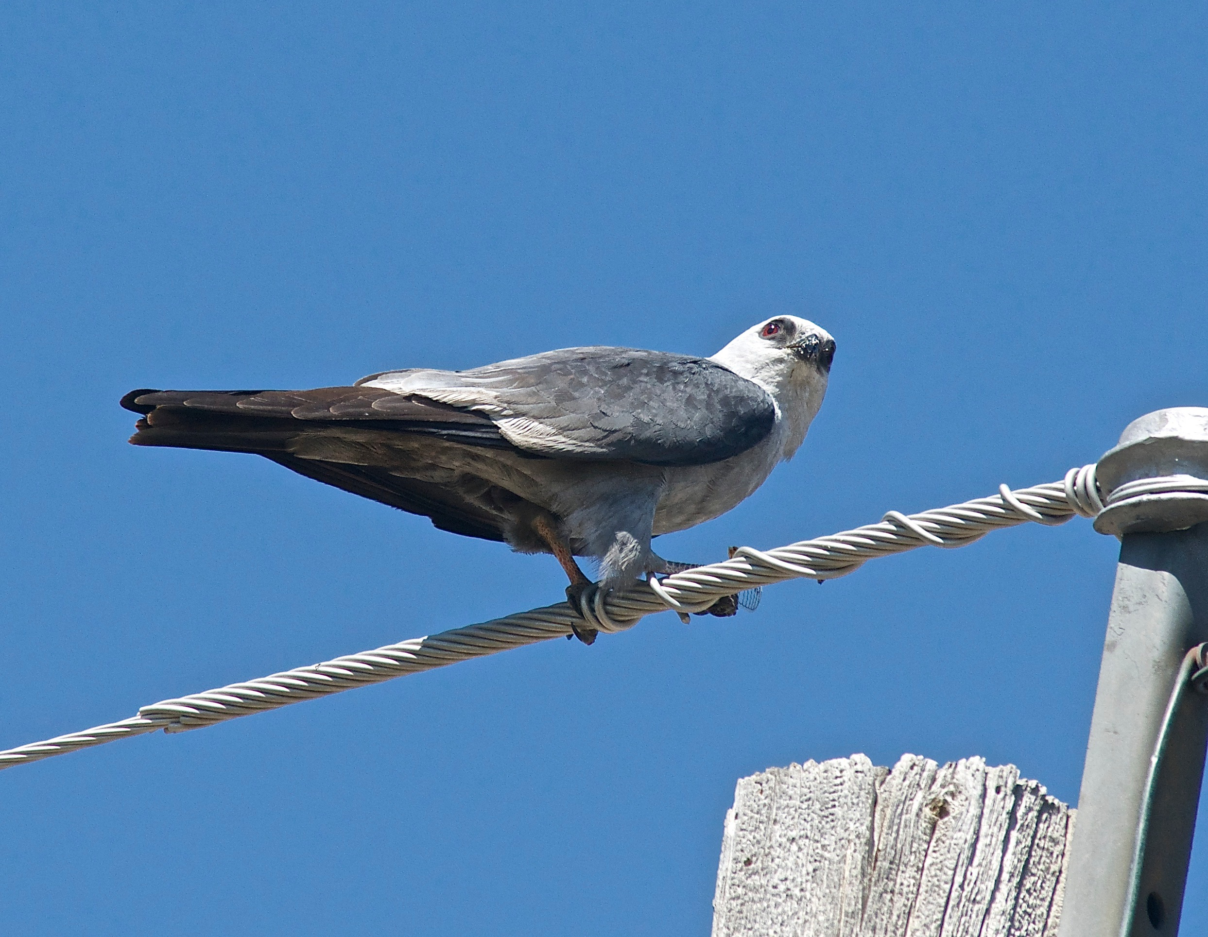 Mississippi Kite (With Cicada)