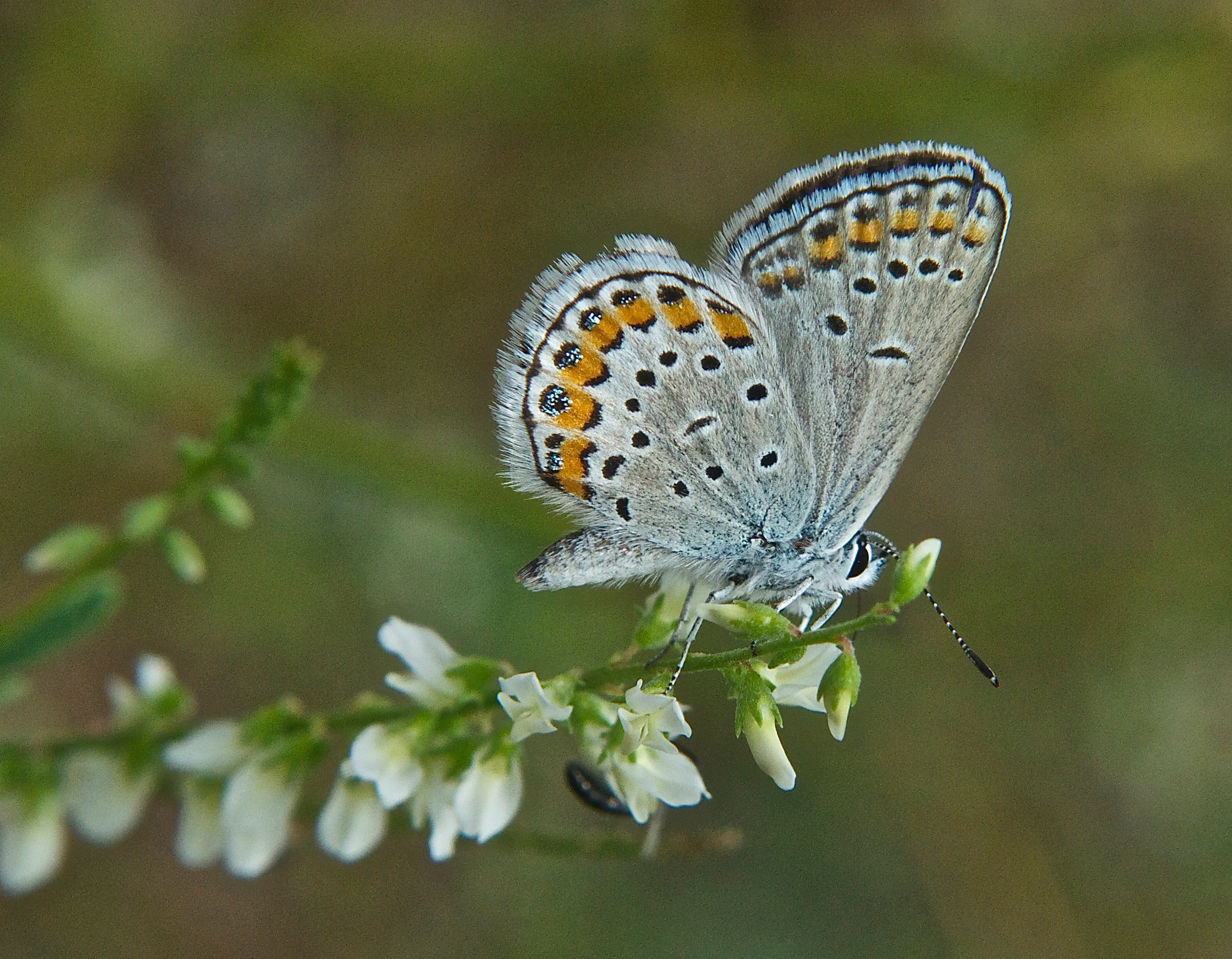Rocky Mountain Dotted Blue Butterfly (Euphilotes ancilla)