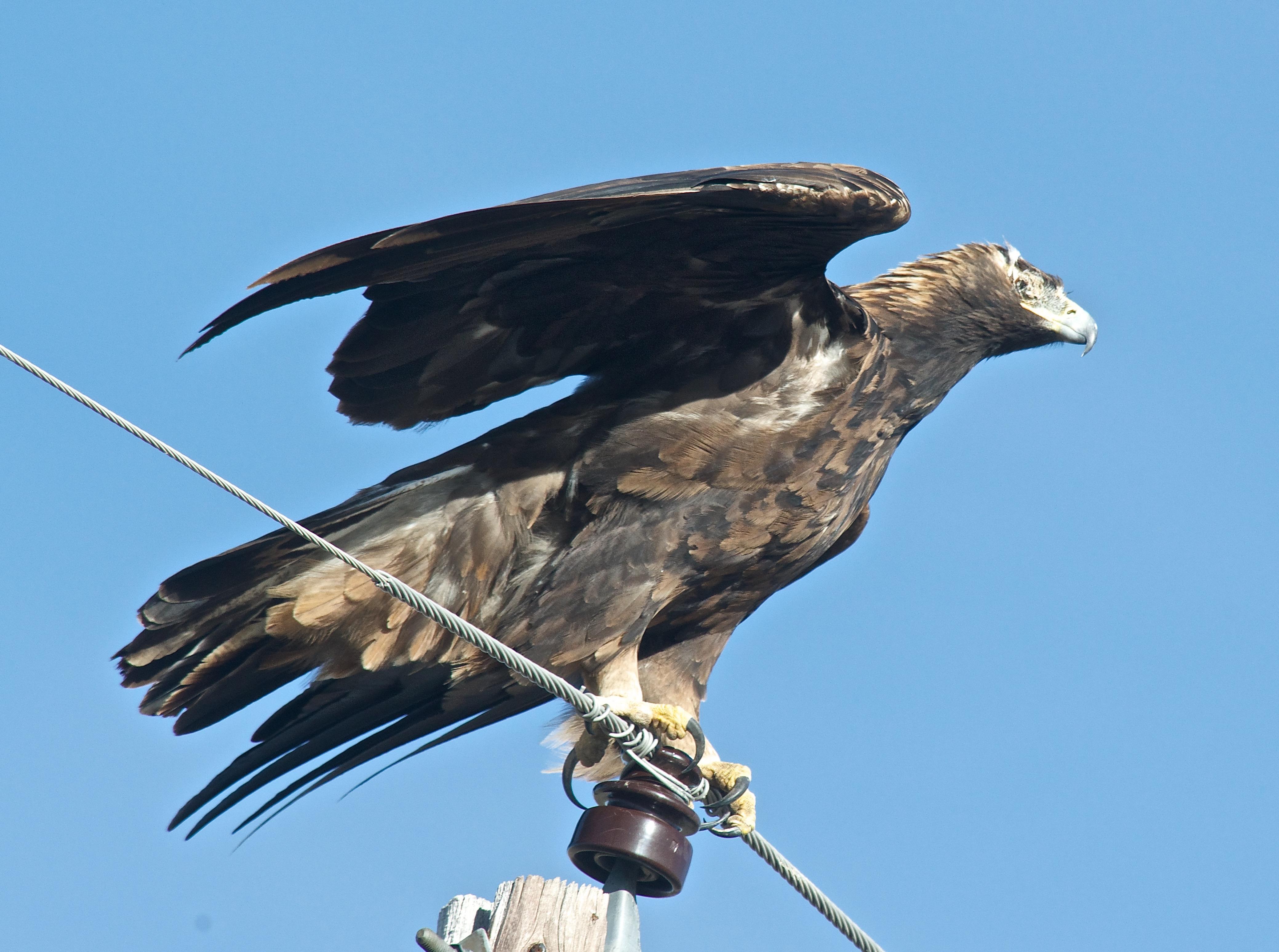 One-Eyed Golden Eagle