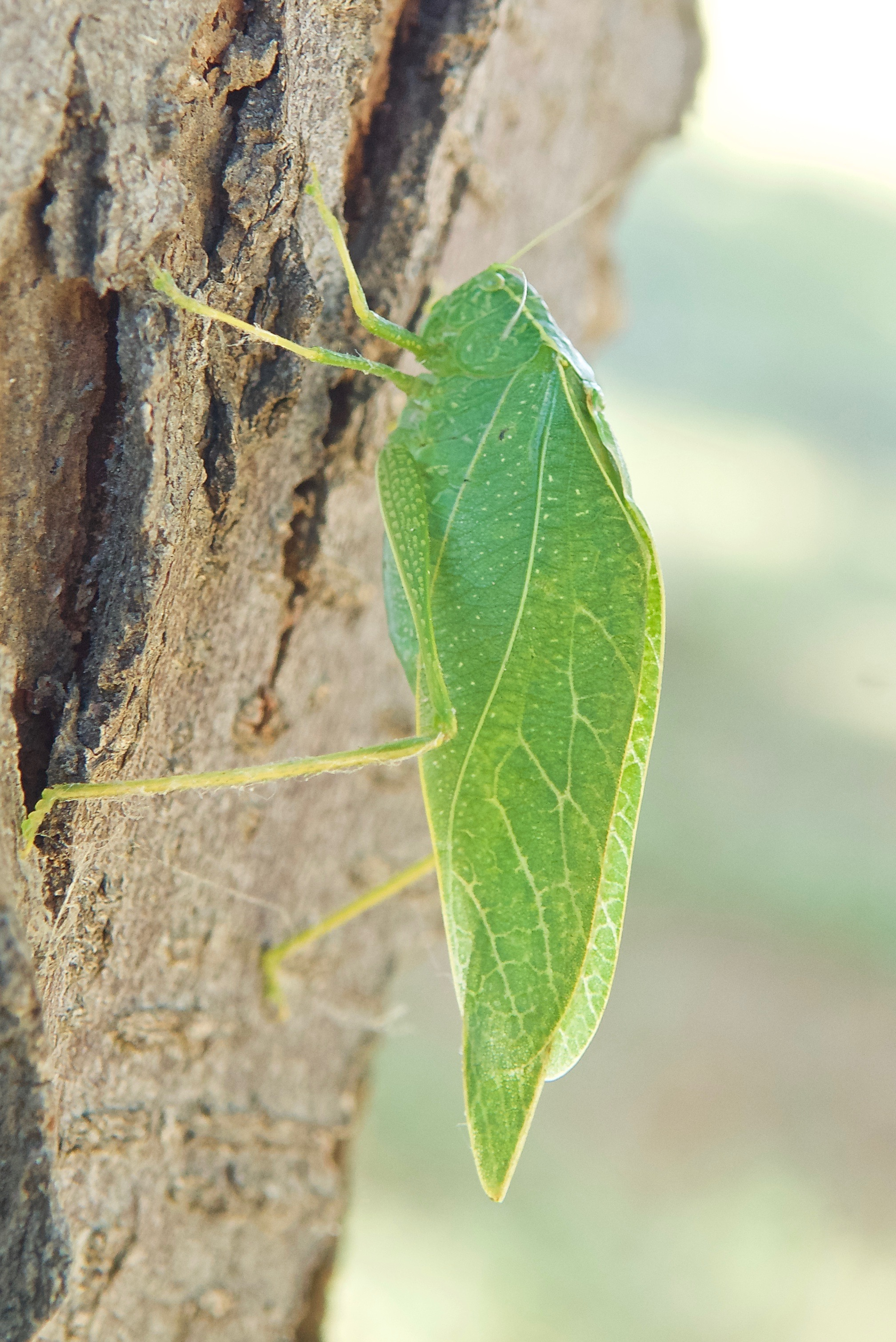 Greater Angle-Winged Katydid