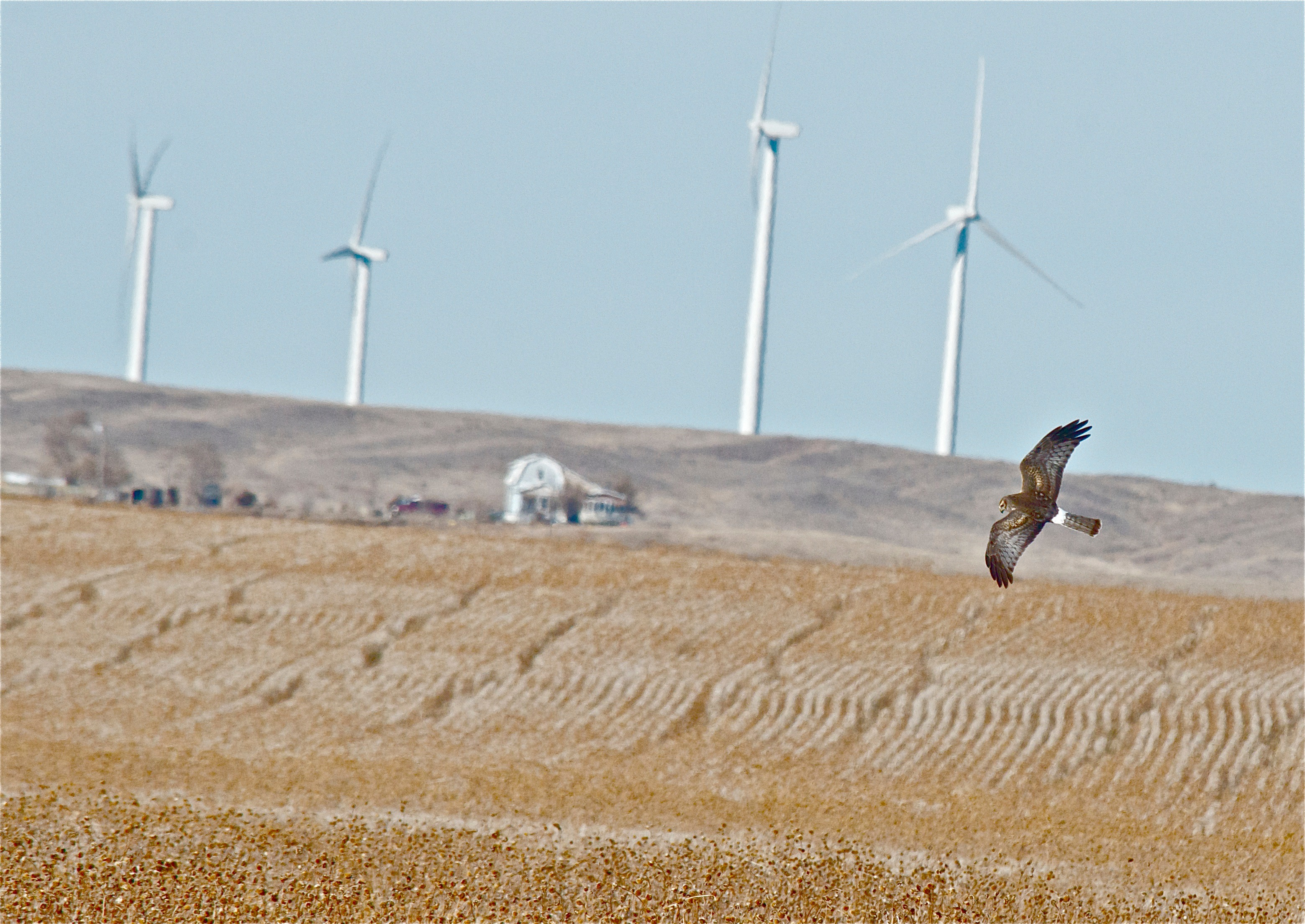 Northern Harrier over its Territory