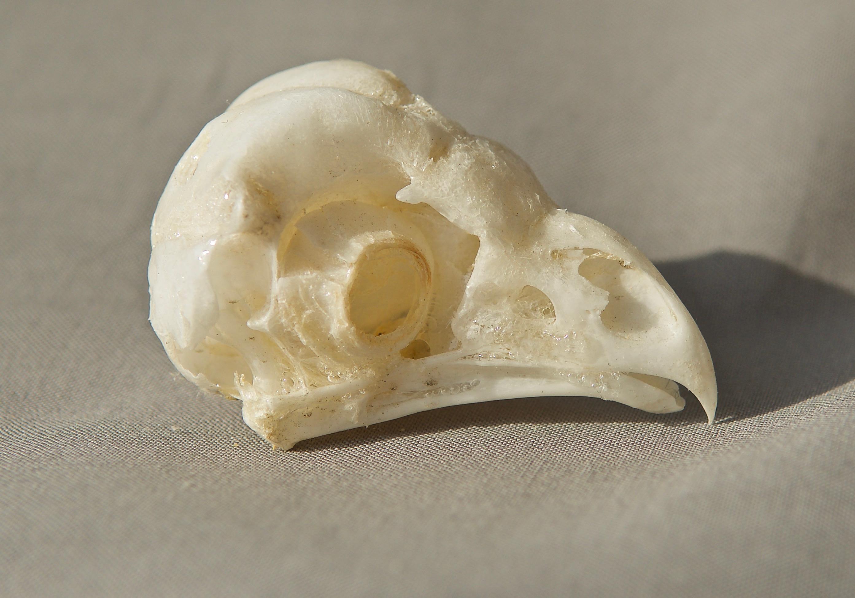 Barn Owl Skull