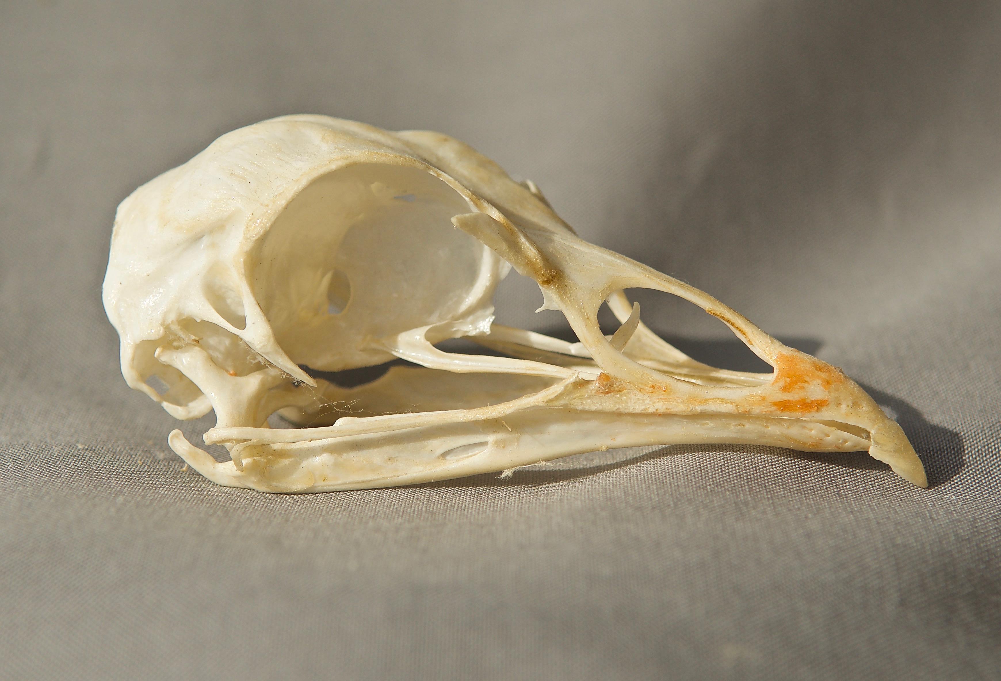 Rio Grande Turkey Skull