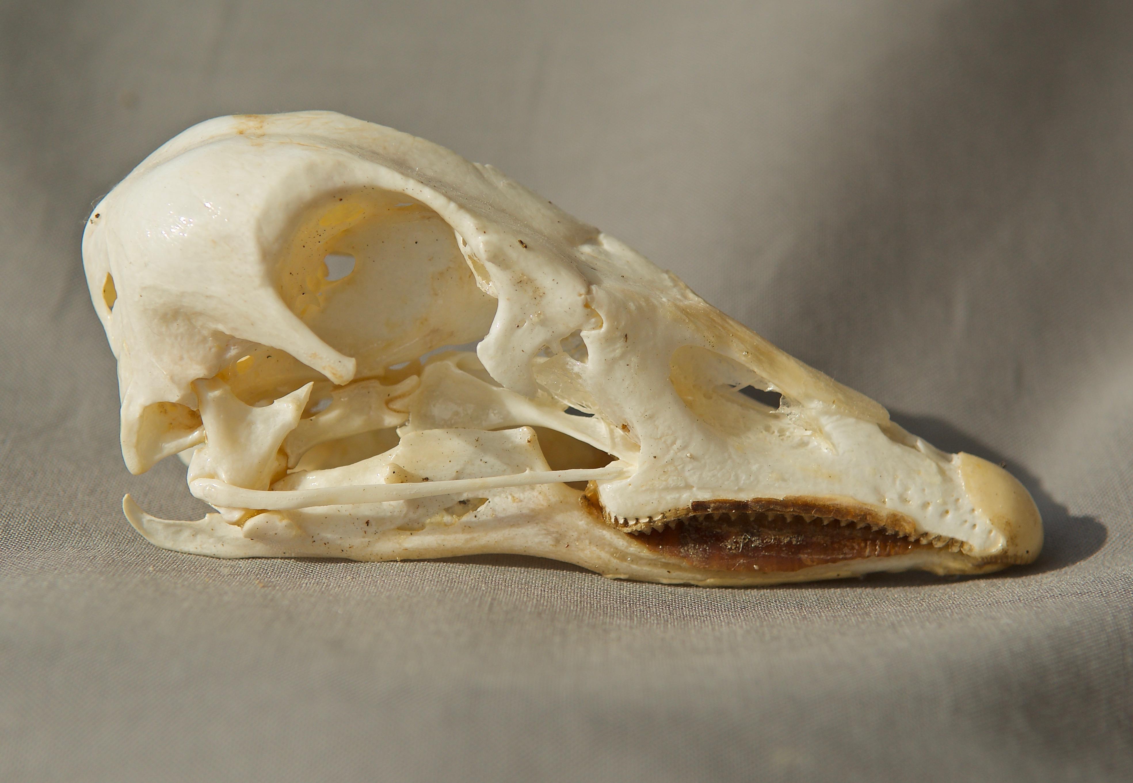 Snow Goose Skull