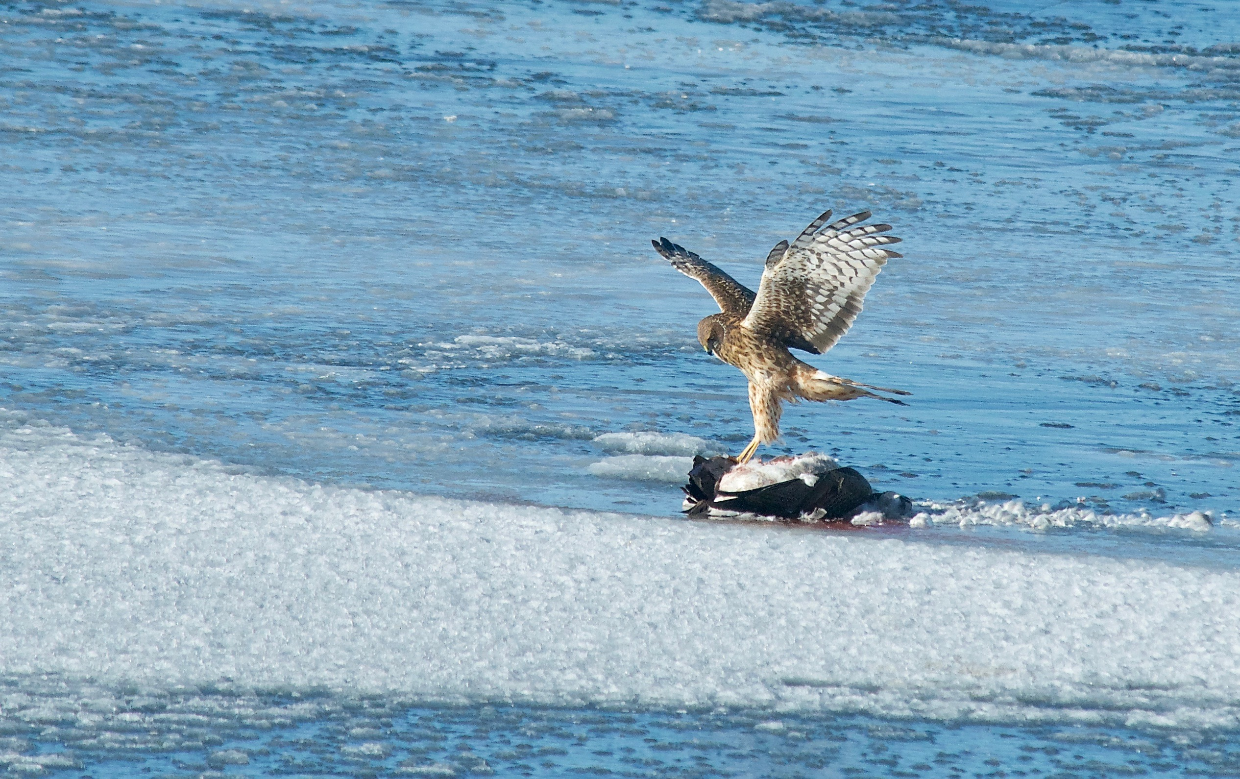 Female Northern Harrier Scavanging on a Goose