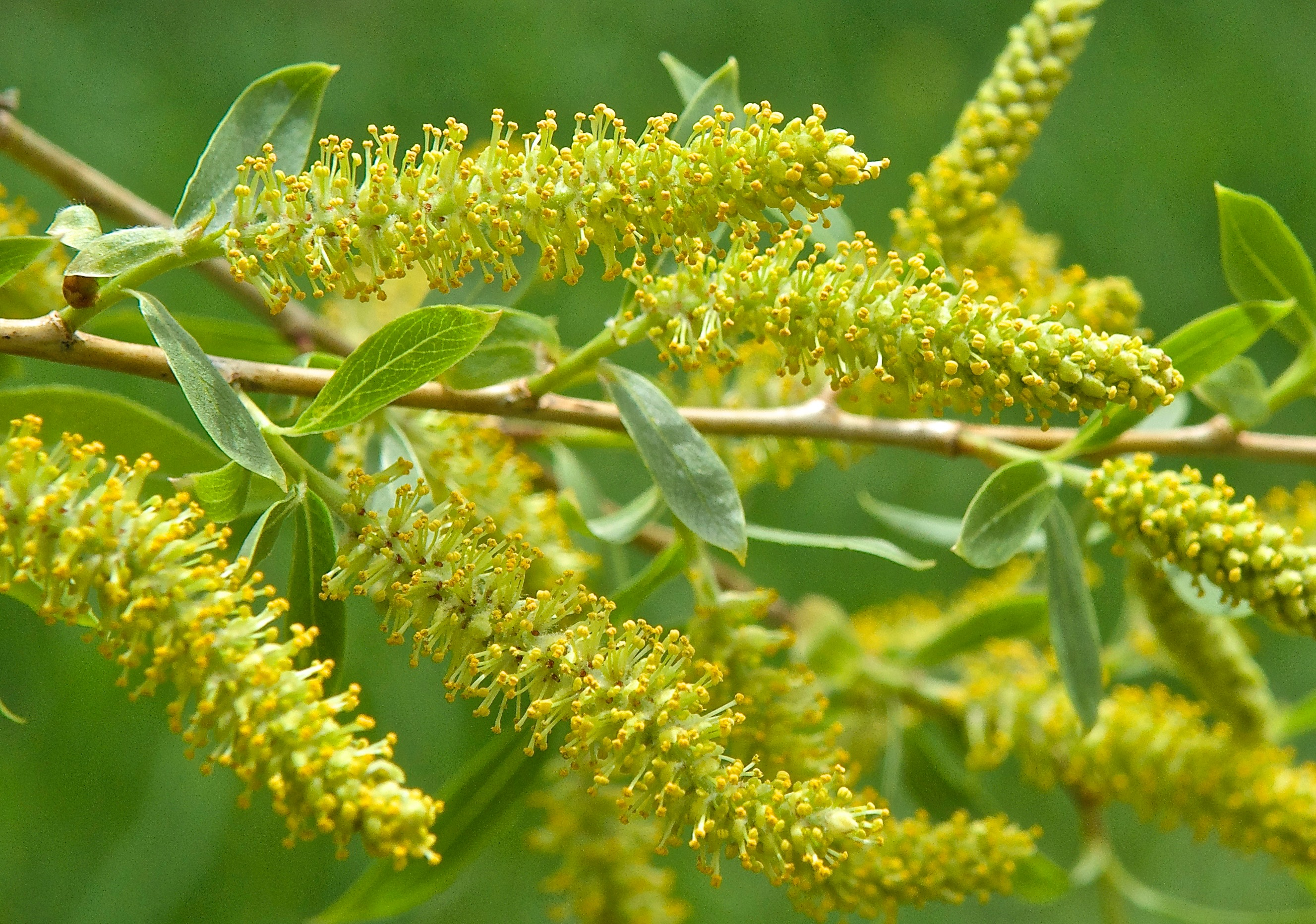Peachleaf Willow Catkins