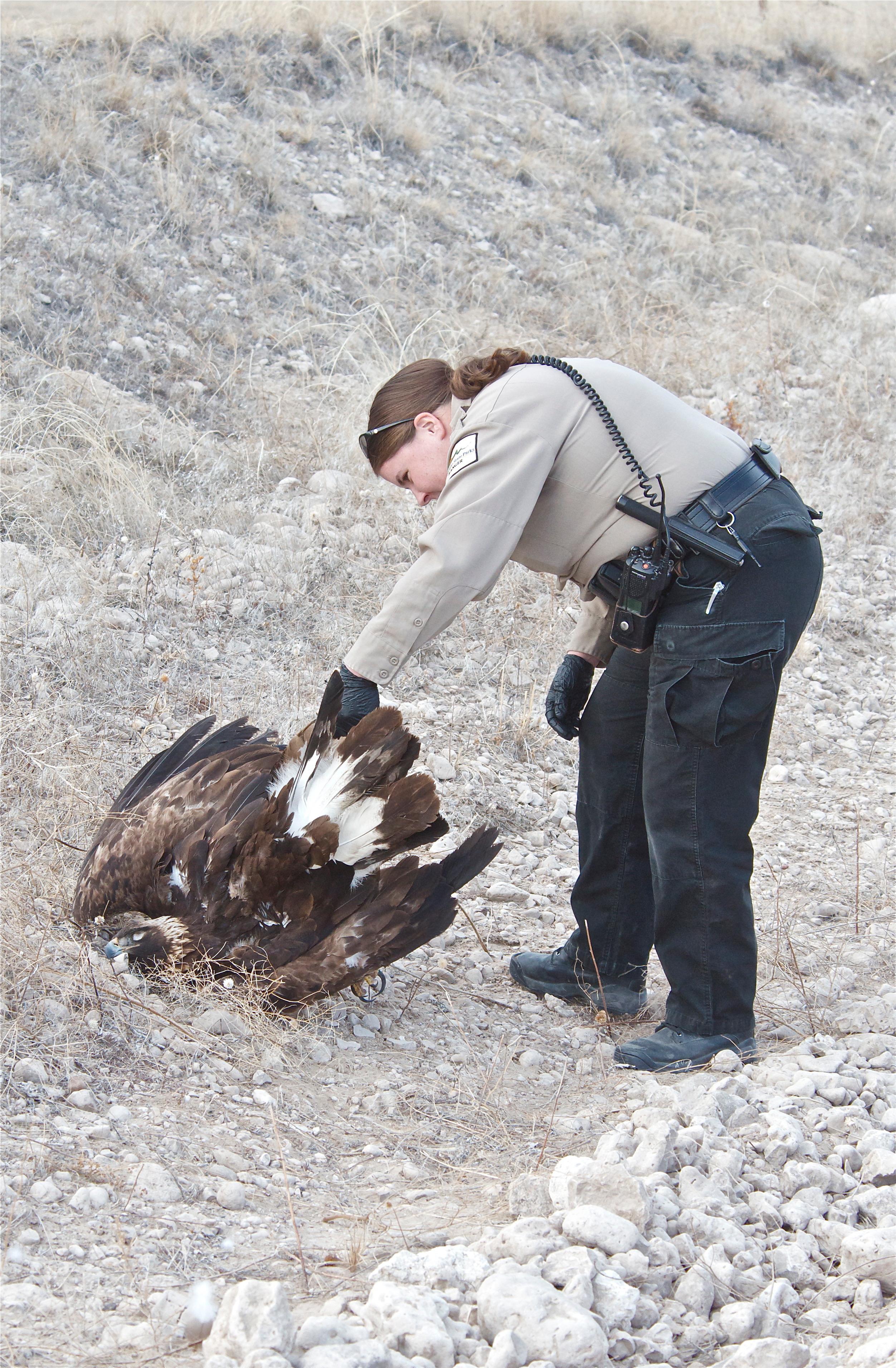 Post-Mortem on a Golden Eagle