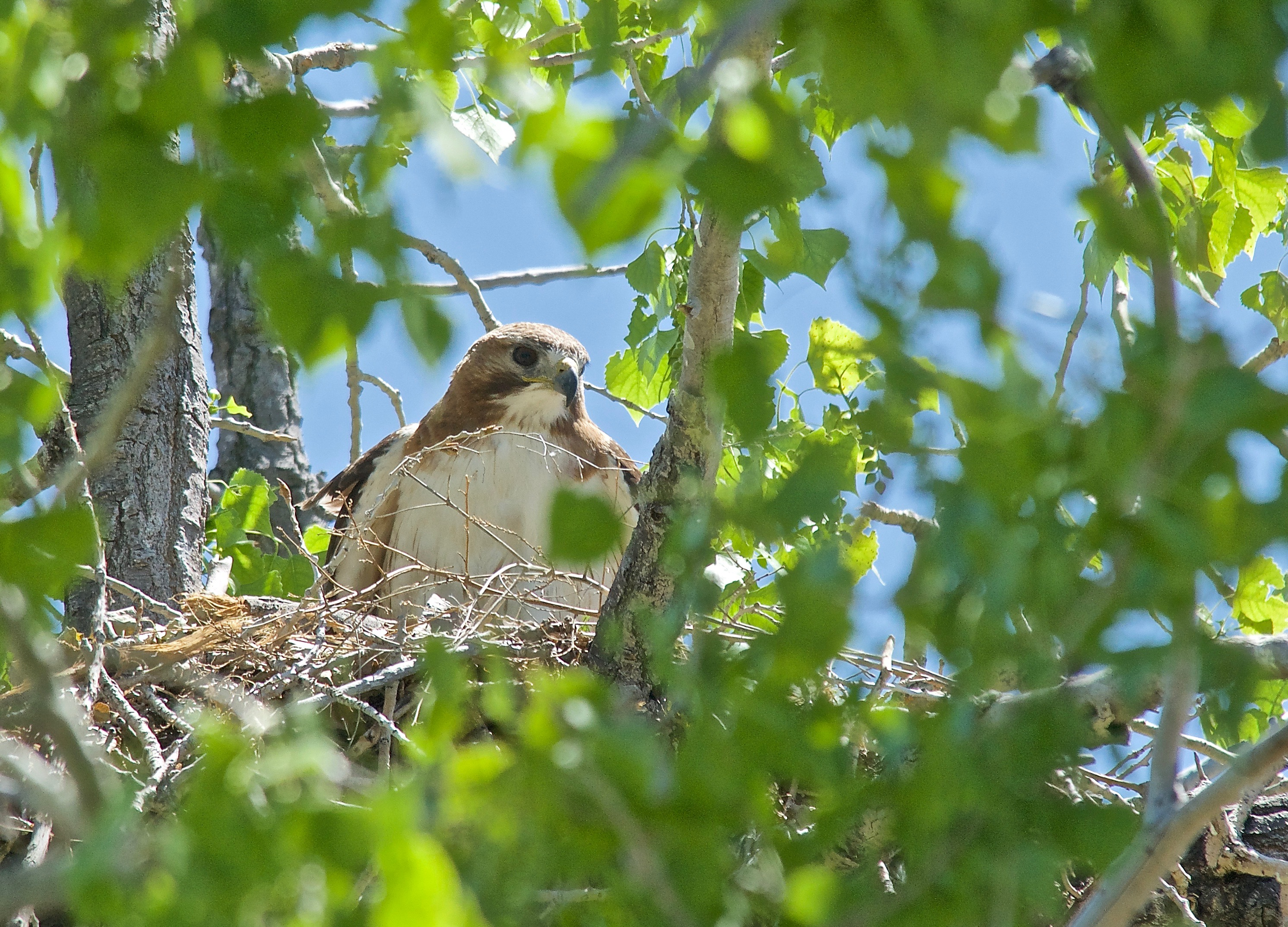 Swainson's Hawk (Owl used the nest Previously)