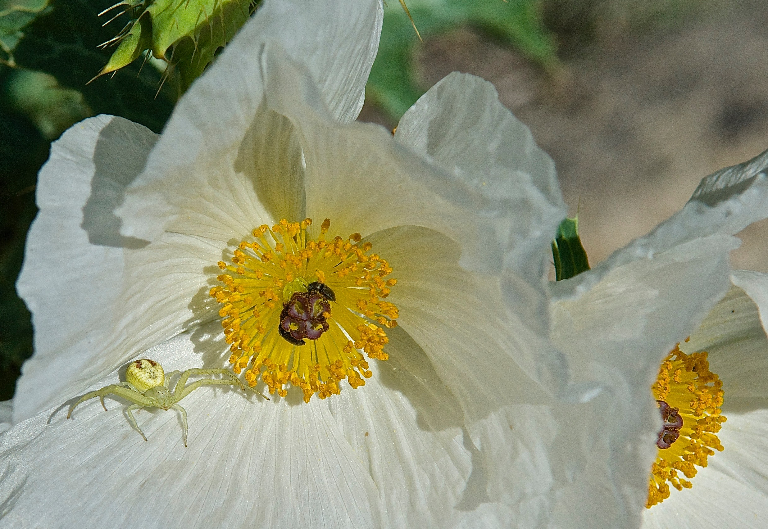 Flower Spider on a Prickly Poppy
