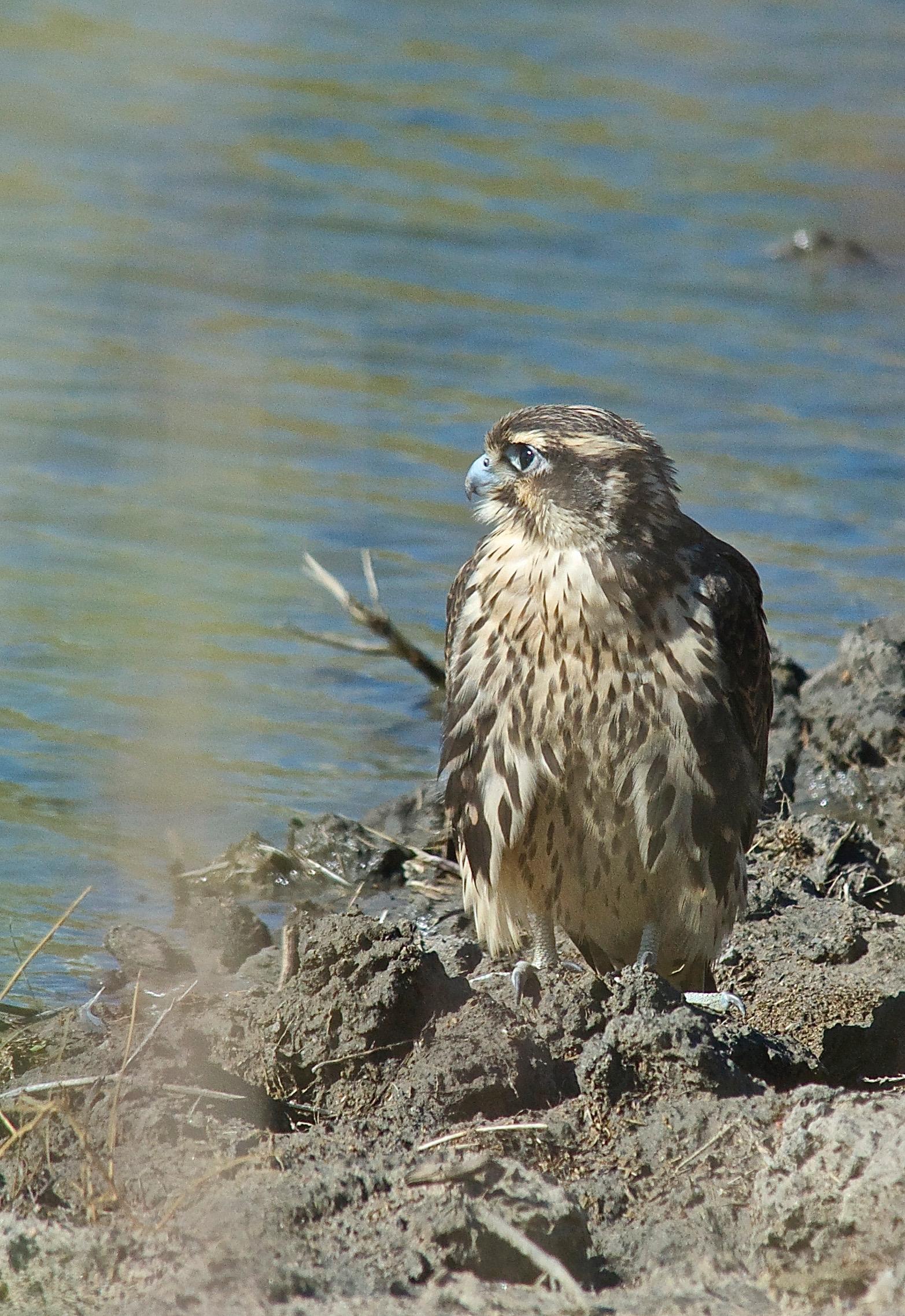 Juvenile Prairie Falcon at Prairie Water Hole