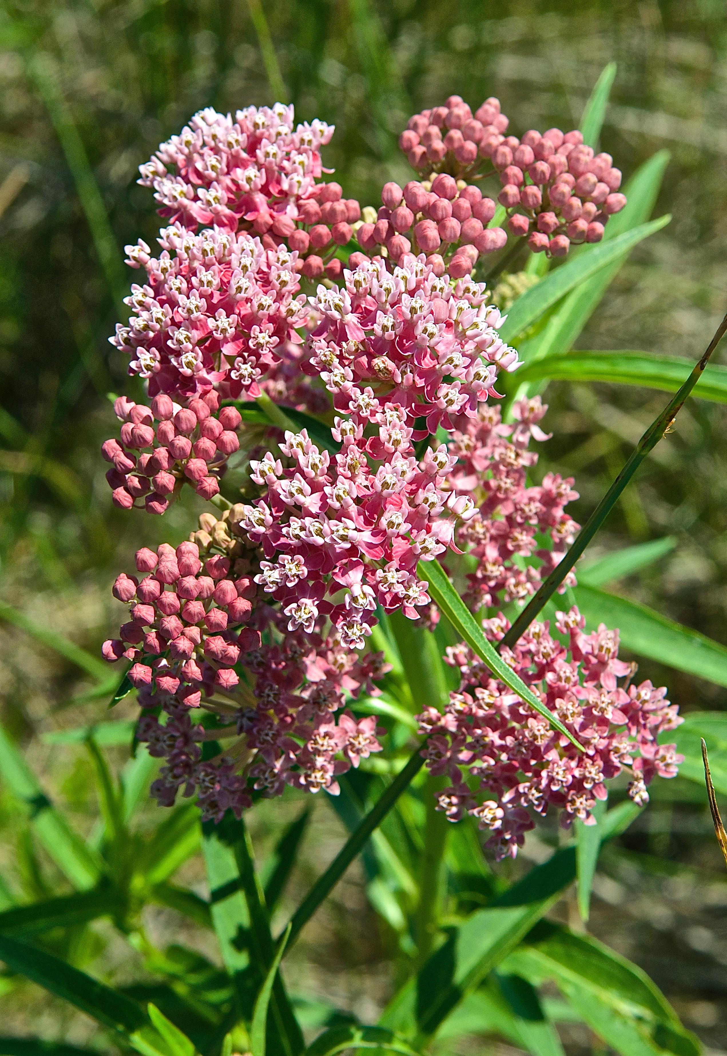 Swamp Milkweed (Asclepias incarnata)